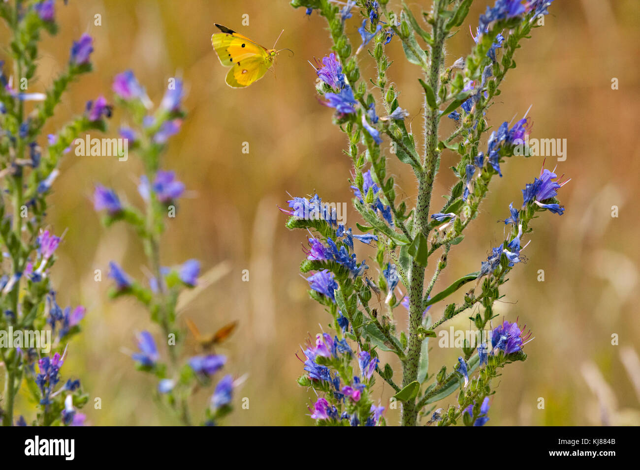 Clouded yellow butterfly in flight seen from the underside over a flower head at Riaza in central Spain - Stock Image