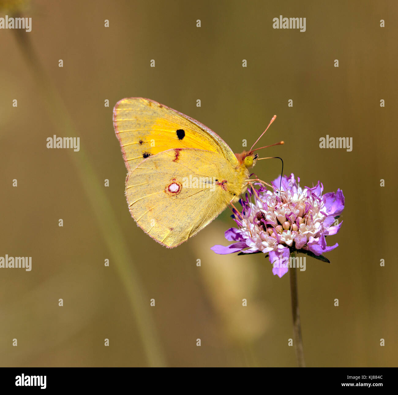 Clouded yellow butterfly basking in the sun on a flowerhead at Riaza in central Spain - Stock Image