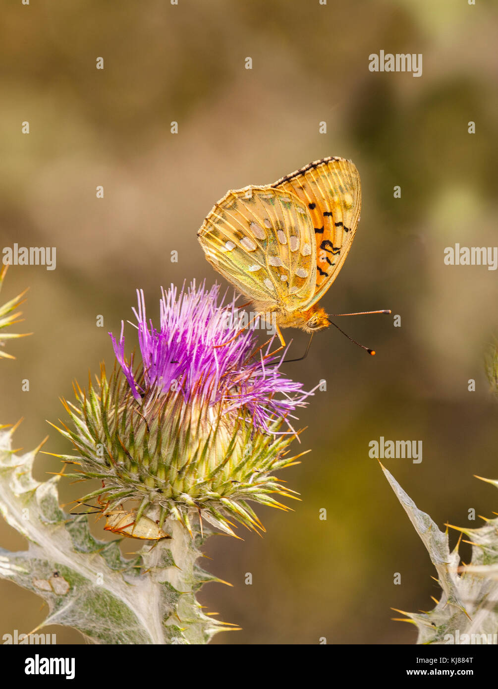 Dark green Fritillary butterfly Mesoacidalia aglaja basking in the sun on the flower head of a thistle at Riaza - Stock Image