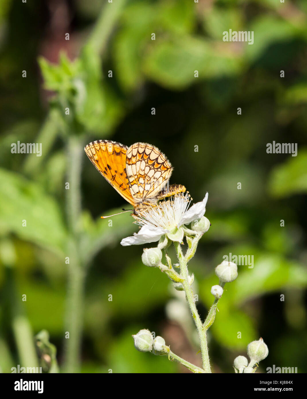 Heath Fritillary butterfly Mellicta athhalia basking in the sun on the flowerhead of bramble blossom at Riaza in Stock Photo
