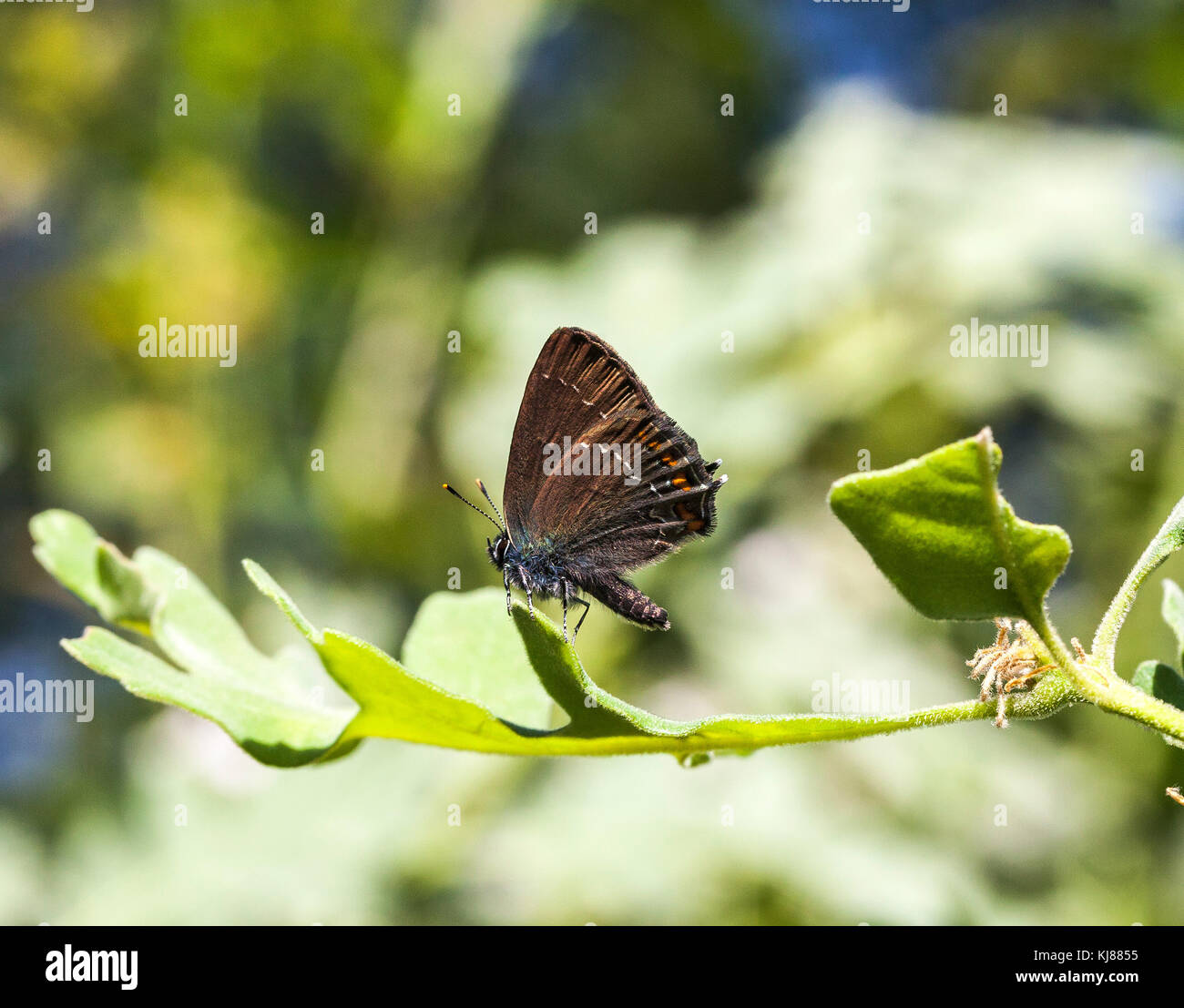 Ilex Hairstreak butterfly Satyrium ilicis basking in the sun on the leaf of the Oak tree at Riaza in central Spain - Stock Image
