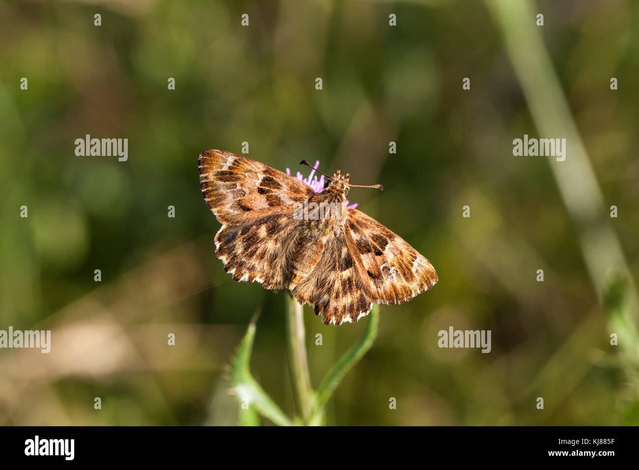 Marbled Skipper Carcharodus lavatherae basking in the sun on a flower head at Riaza in central Spain - Stock Image