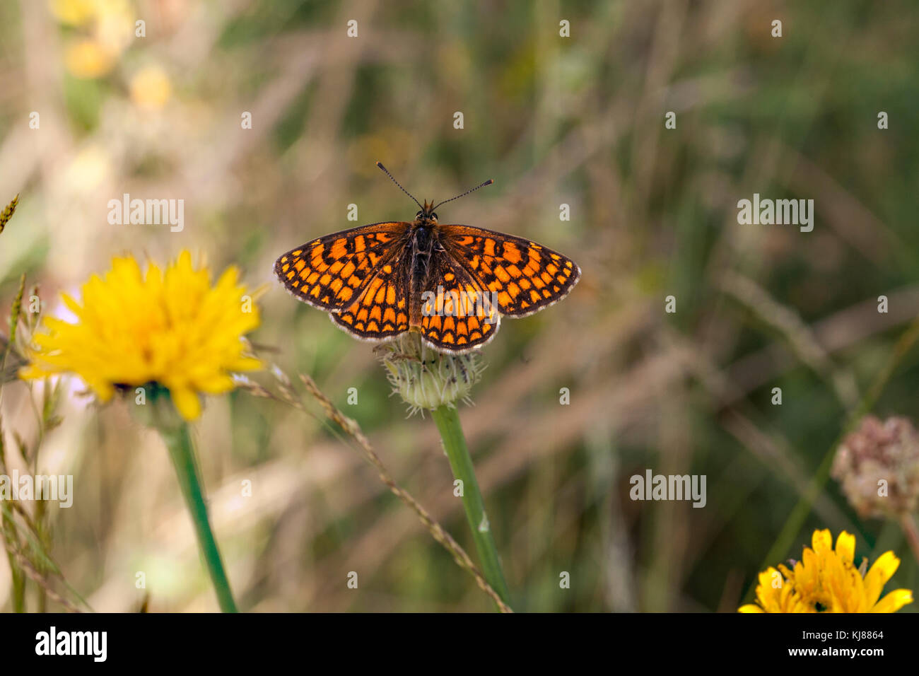 Meadow fritillary butterfly Mellicta parhenoide basking  in the sun on a flower head at Riaza in central Spain - Stock Image
