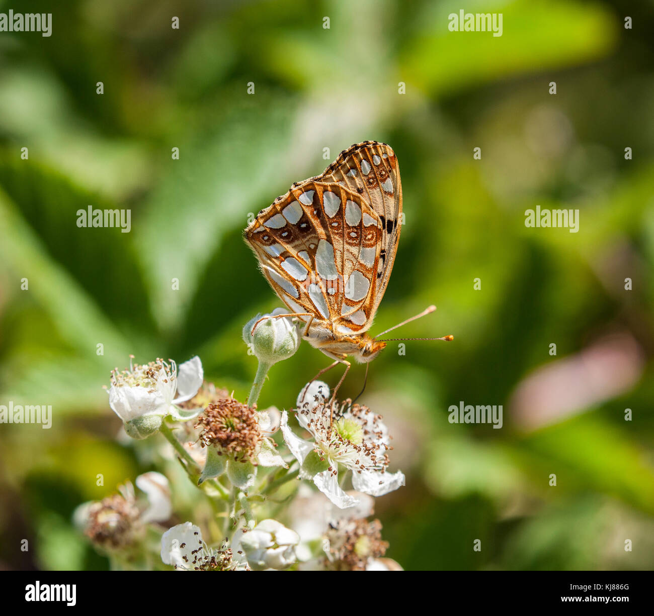 Queen of Spain Fritillary butterfly issoria lathonia basking in the sunshine at Riaza in central Spain showing its - Stock Image