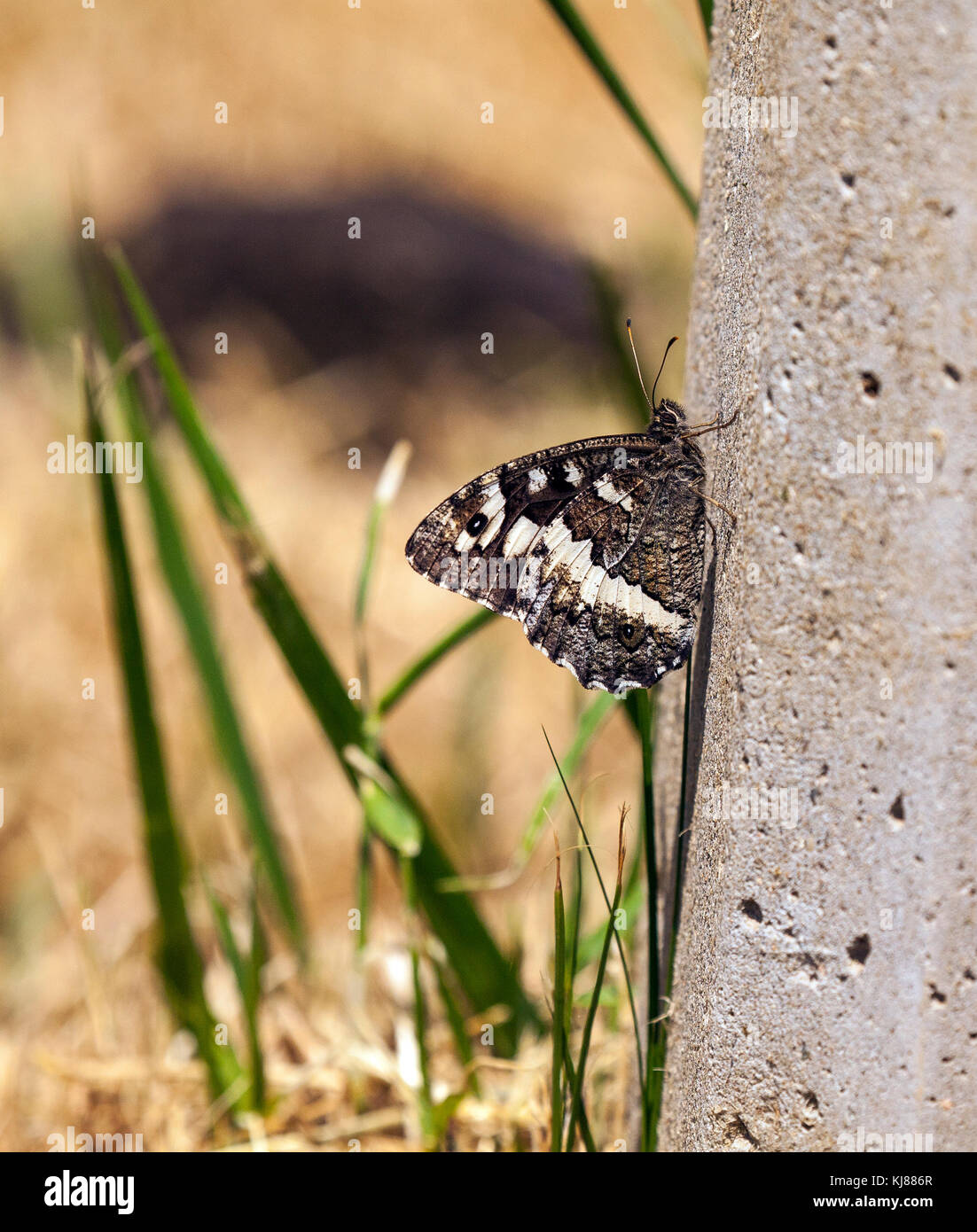 Rock Grayling butterfly Hipparchia alcyone basking in the sun on a concrete post at Riaza central Spain - Stock Image