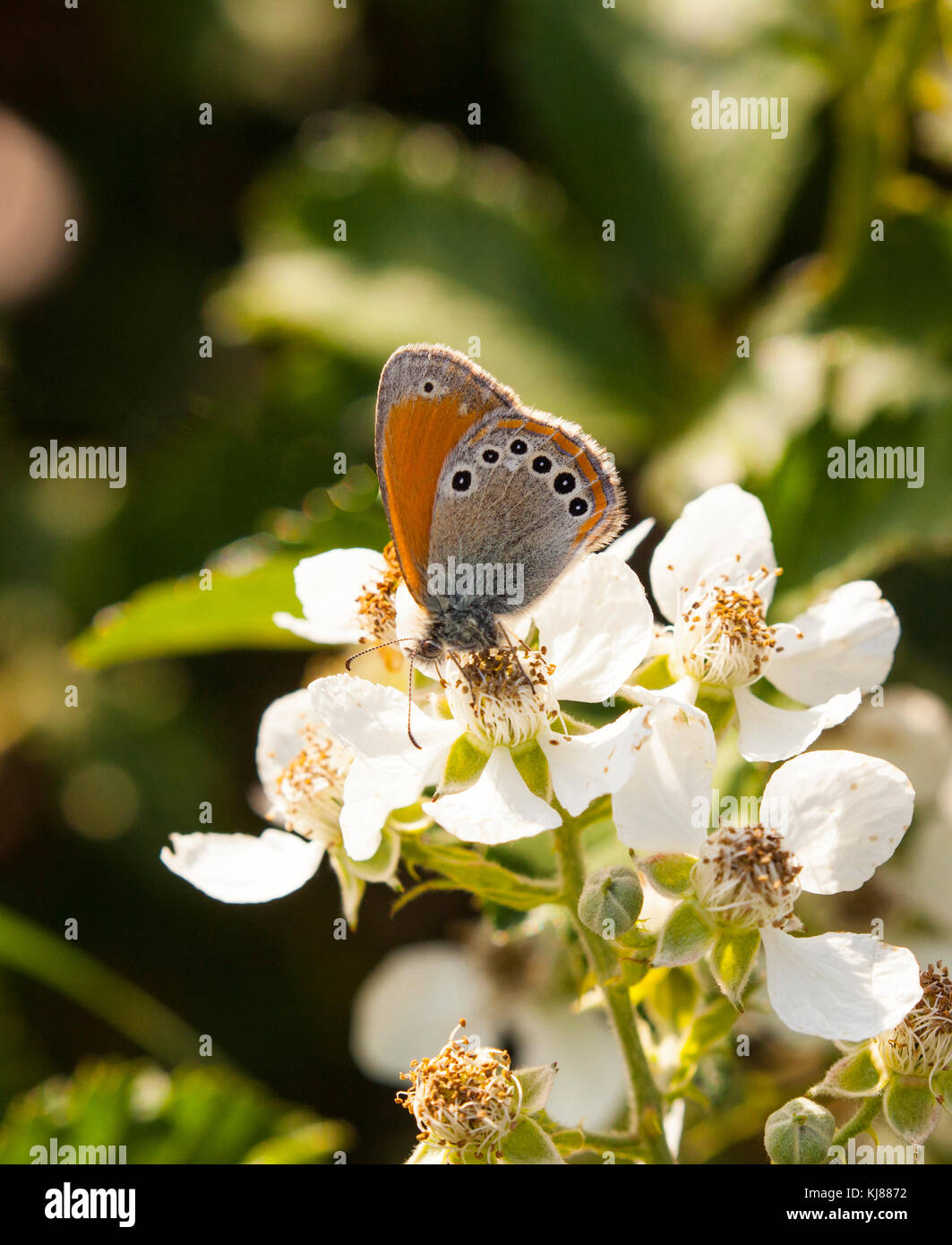 Spanish Heath butterfly Coenonympha iphioides on bramble blossom at Riaza in central Spain - Stock Image