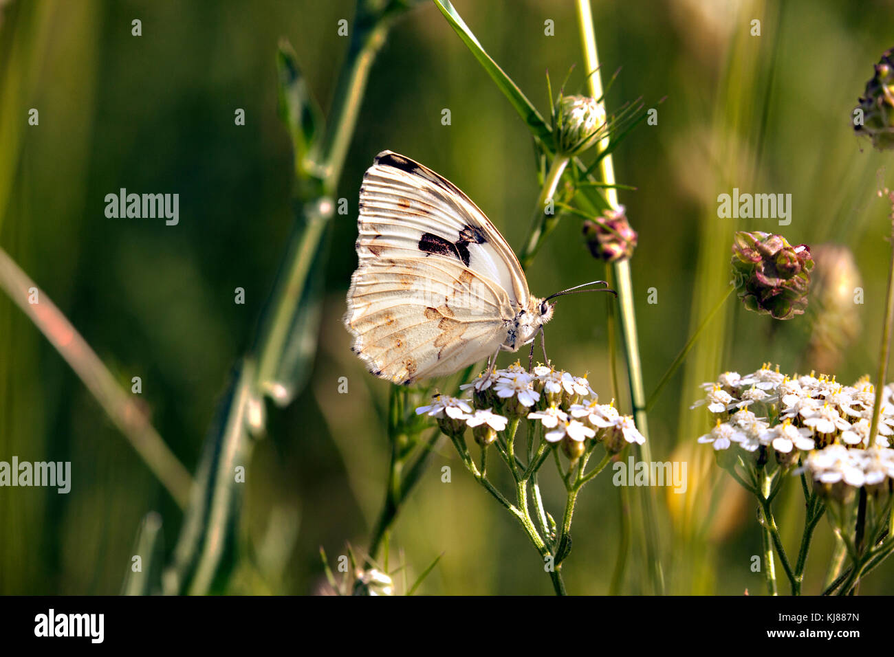Iberian Marbled White  butterfly Melanargia lachesis underside photographed on flower head in a Spanish meadow at - Stock Image