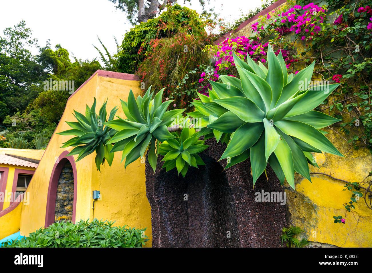 Agave Attenuata Plants At The Botanical Gardens (Jardim Botânico Da  Madeira), Madeira, Portugal