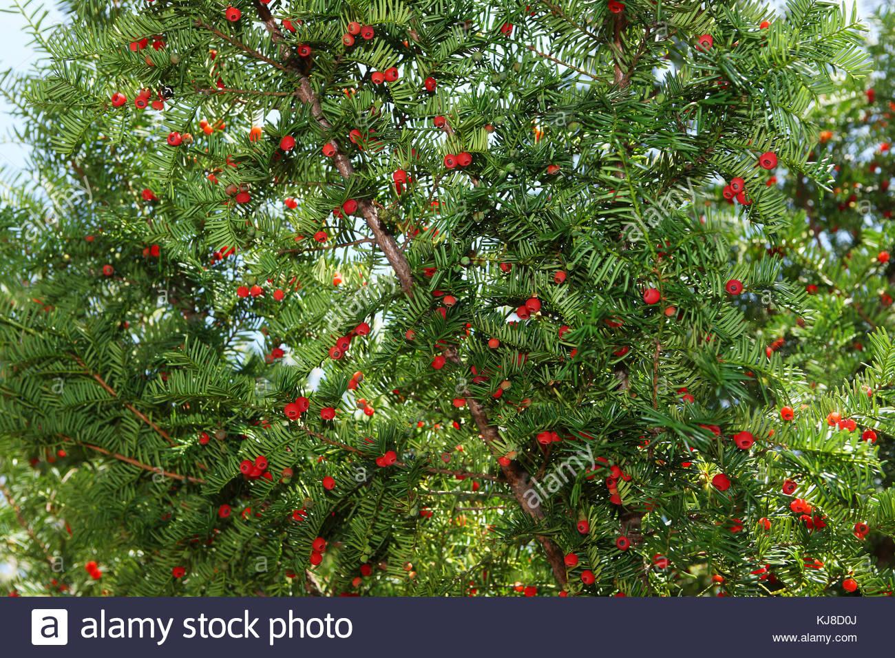 Berries of yew tree - Stock Image