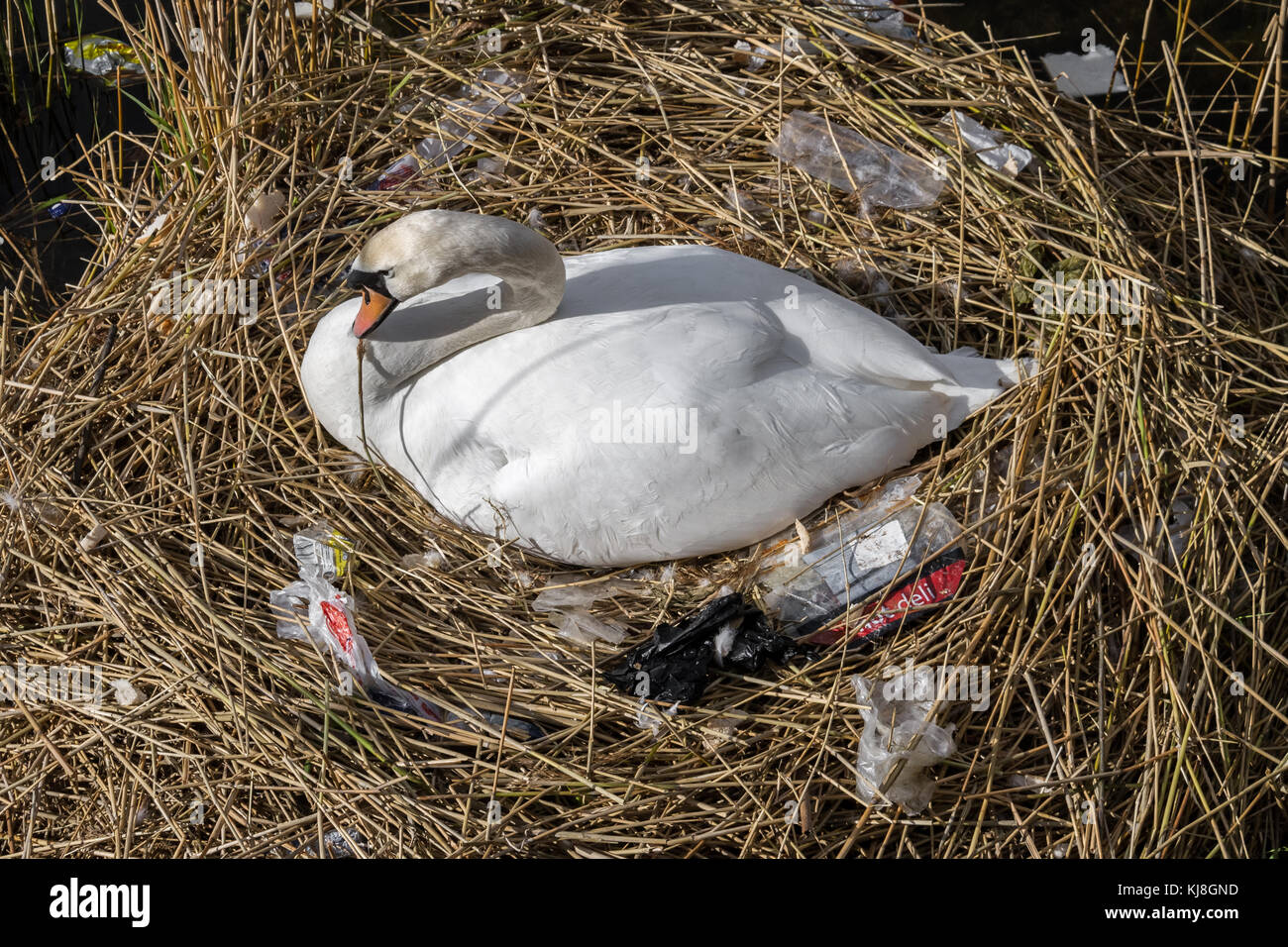 Mute swan with newly constructed nest surrounded with plastic pollution on Canada Water pond in south east London, - Stock Image