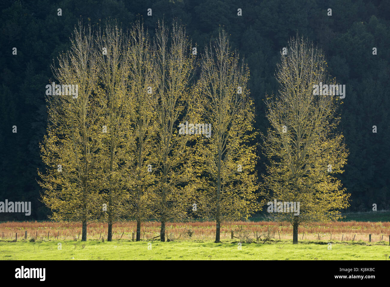 backlighting gives a golden glow to poplars along a fence line - Stock Image