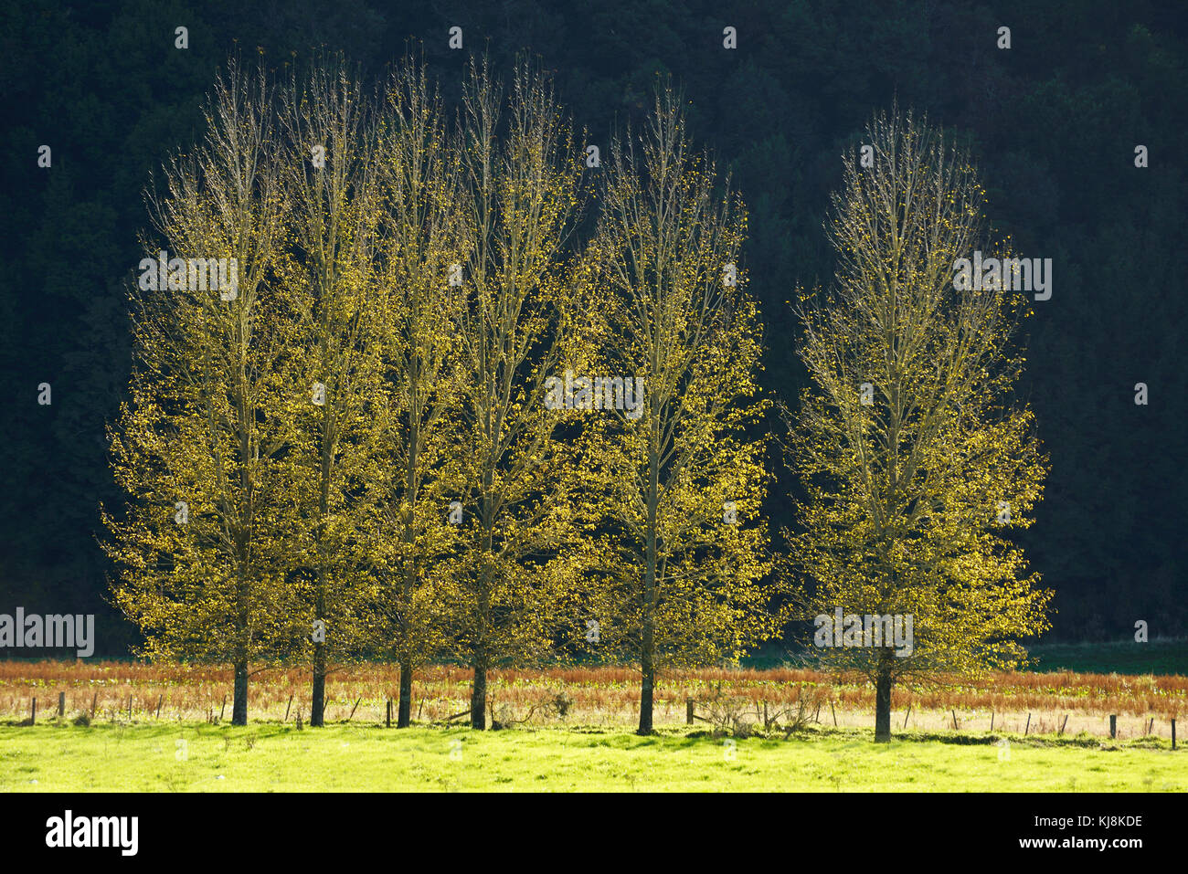 Backlighting sets a glow among a row of poplars on a farm on the West Coast of New Zealand - Stock Image