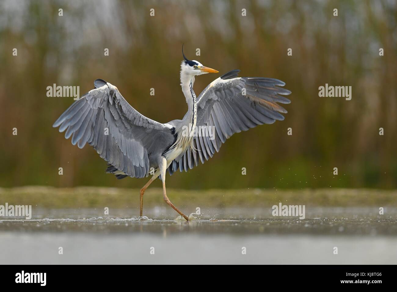 Grey heron (Ardea cinerea), walks in the water, National Park Kiskunsag, Hungary - Stock Image