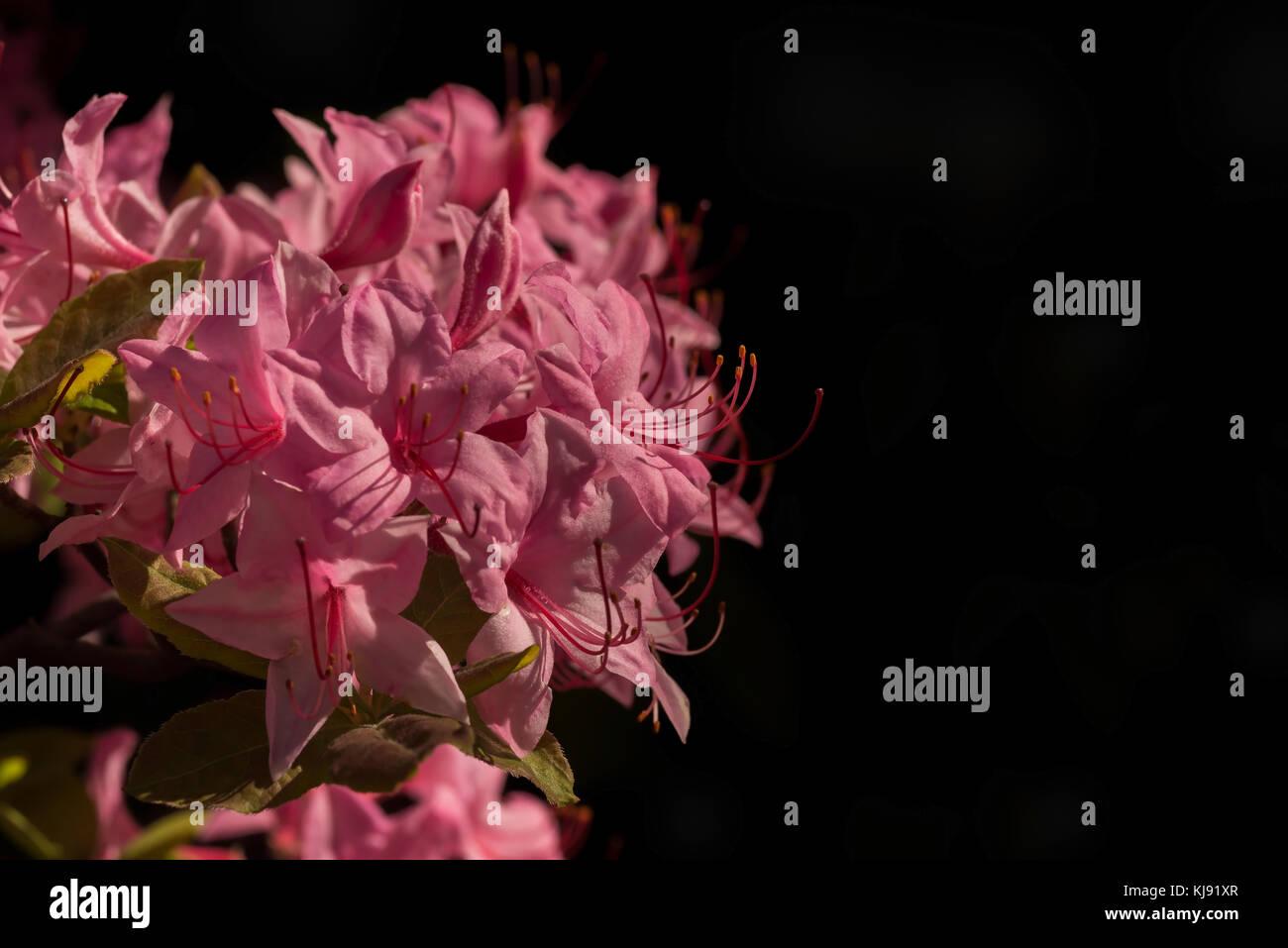Pink azalea flowers in dappled spring sunlight - Stock Image
