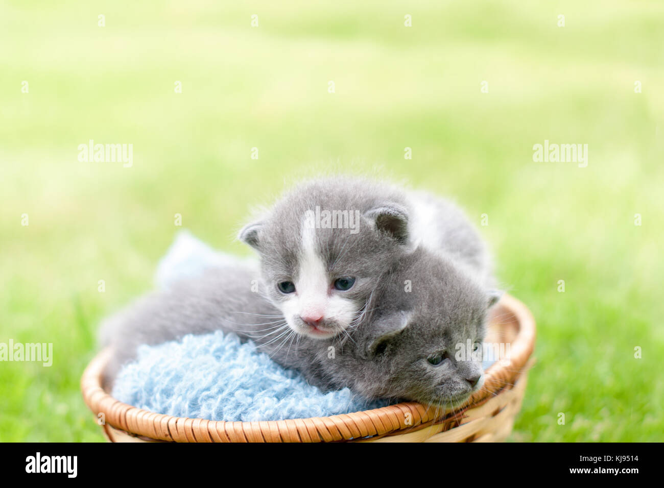 Two grey kittens in a wooden basket Stock Photo