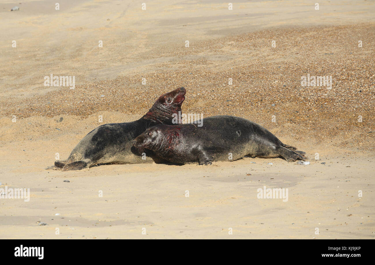 Two fighting large dominant Grey Seal bulls (Halichoerus grypus) on a beach in Horsey, Norfolk, UK. Stock Photo
