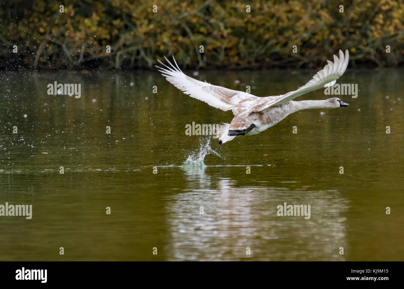 Swan Cygnet (Cygnus olor) taking off from a lake in Autumn in West Sussex, England, UK. - Stock Image