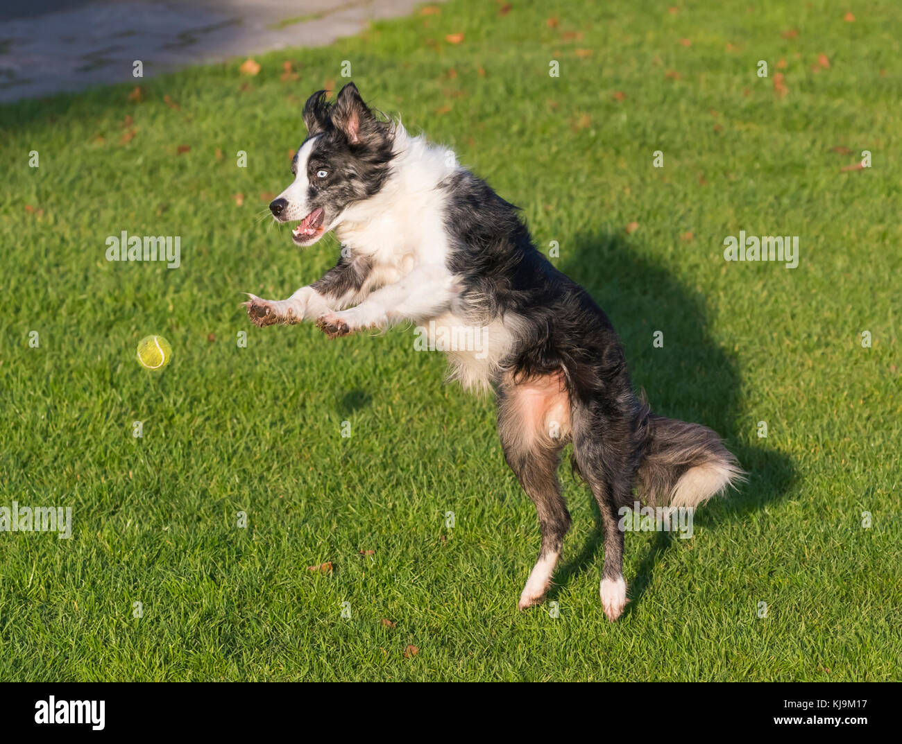 A dog jumping up to catch a ball. - Stock Image