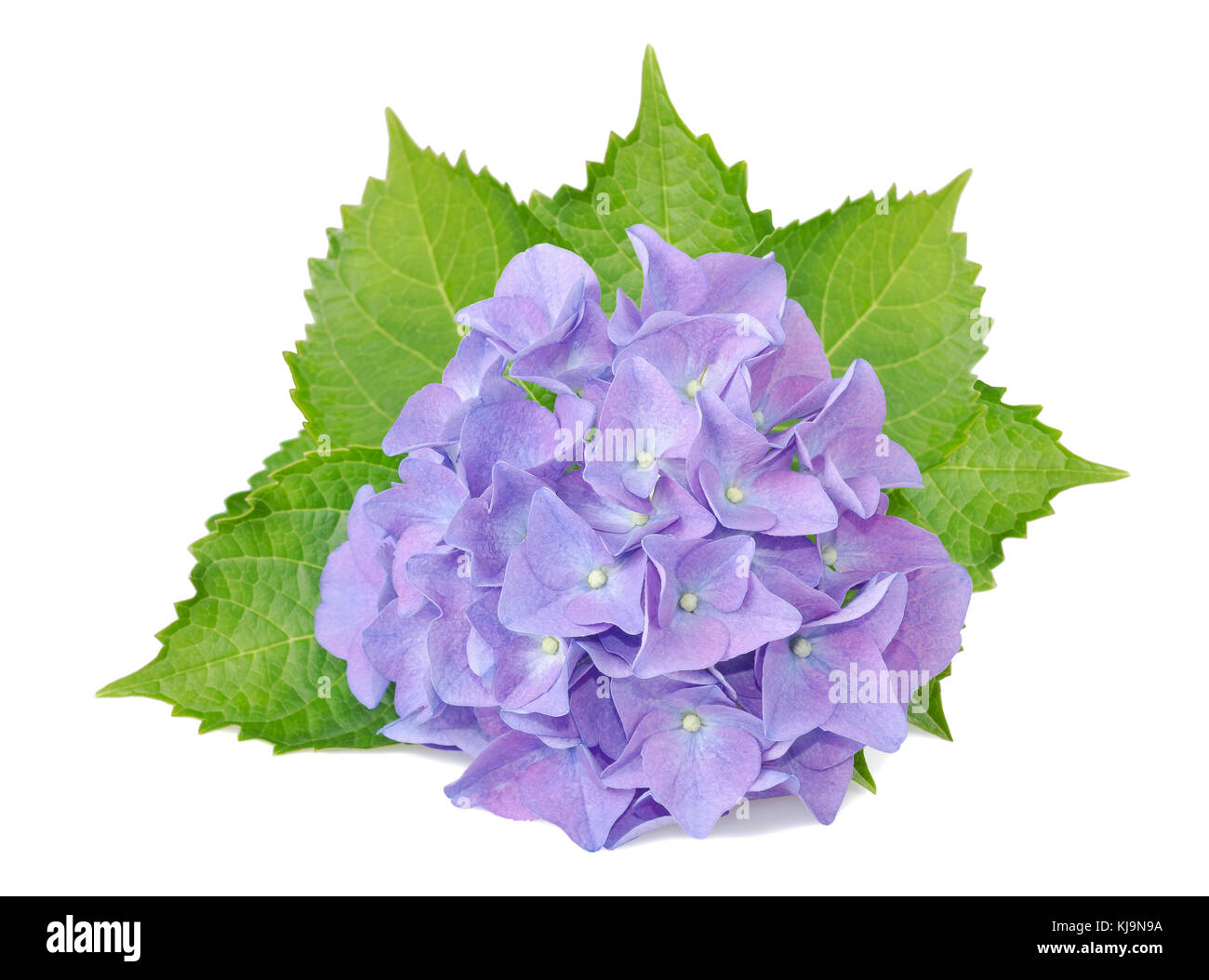 hydrangea flowers and leaves isolated on white - Stock Image