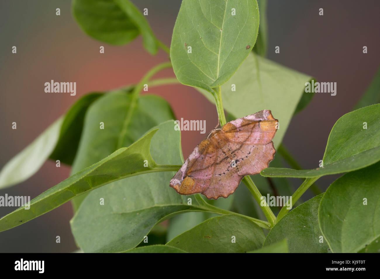Fliederspanner, Flieder-Spanner, Apeira syringaria, Hygrochroa syringaria, Pericallia syringaria, lilac beauty, - Stock Image