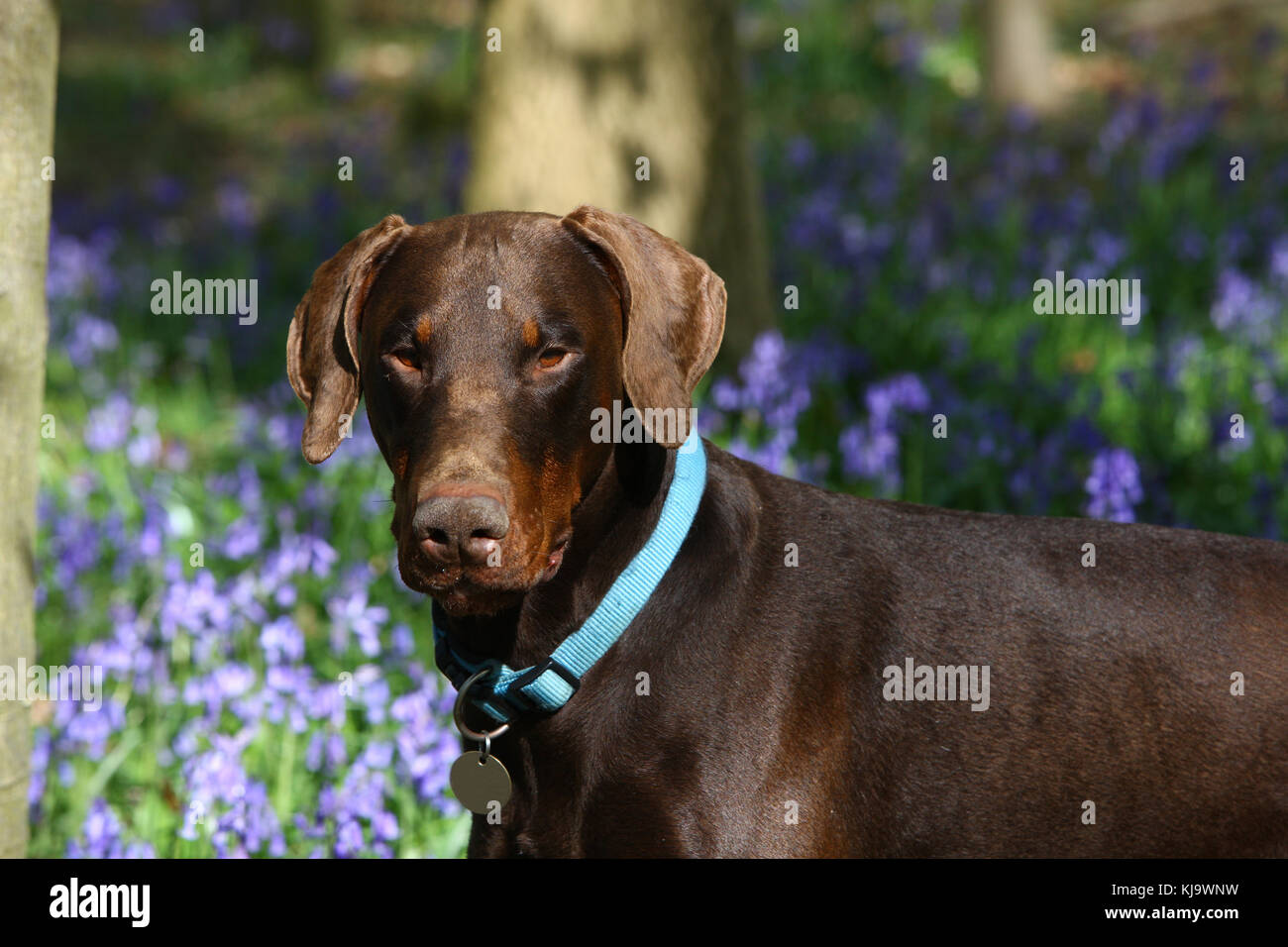 Doberman Pinscher - Stock Image