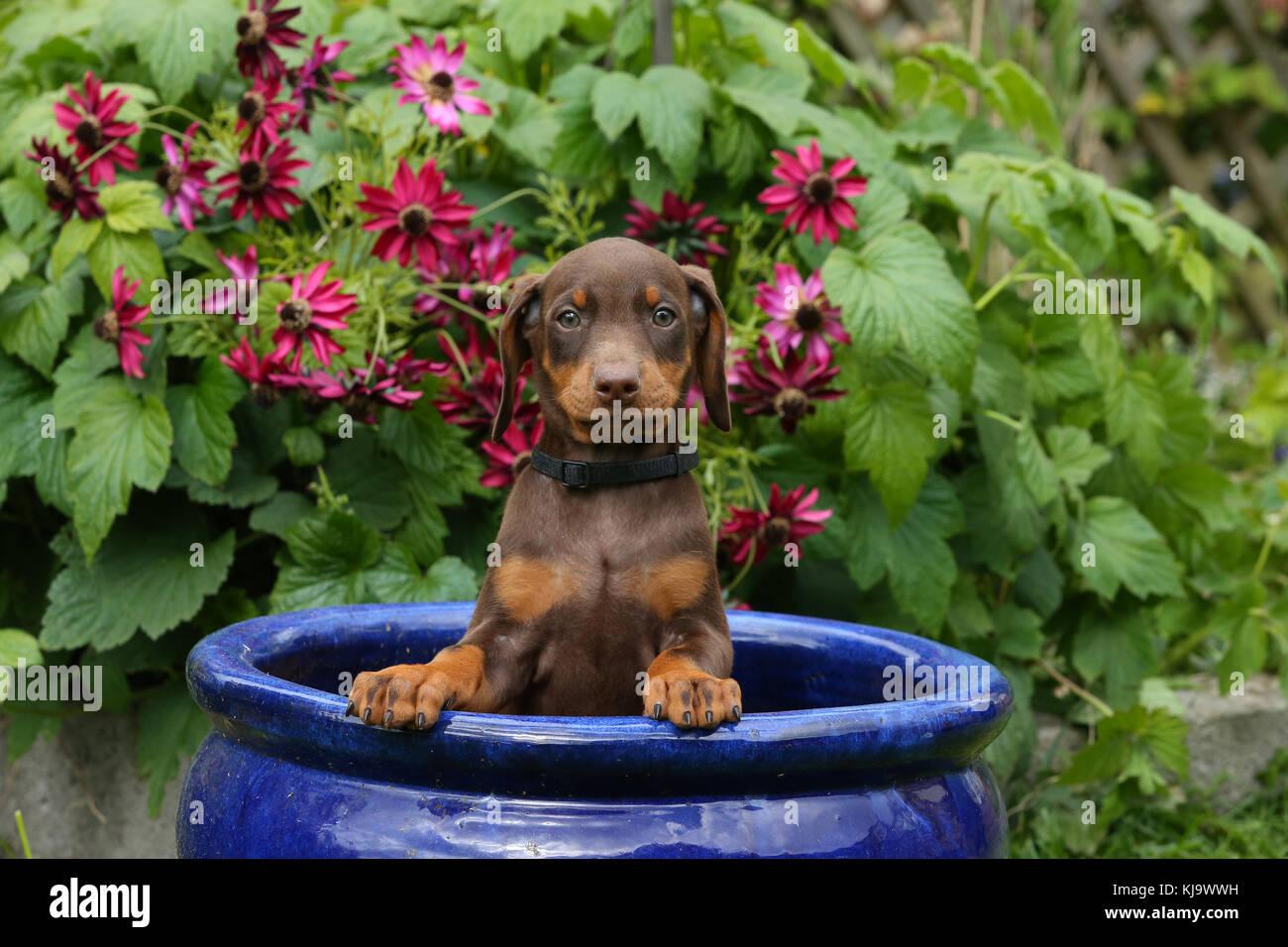 Doberman Pinscher Puppy - Stock Image