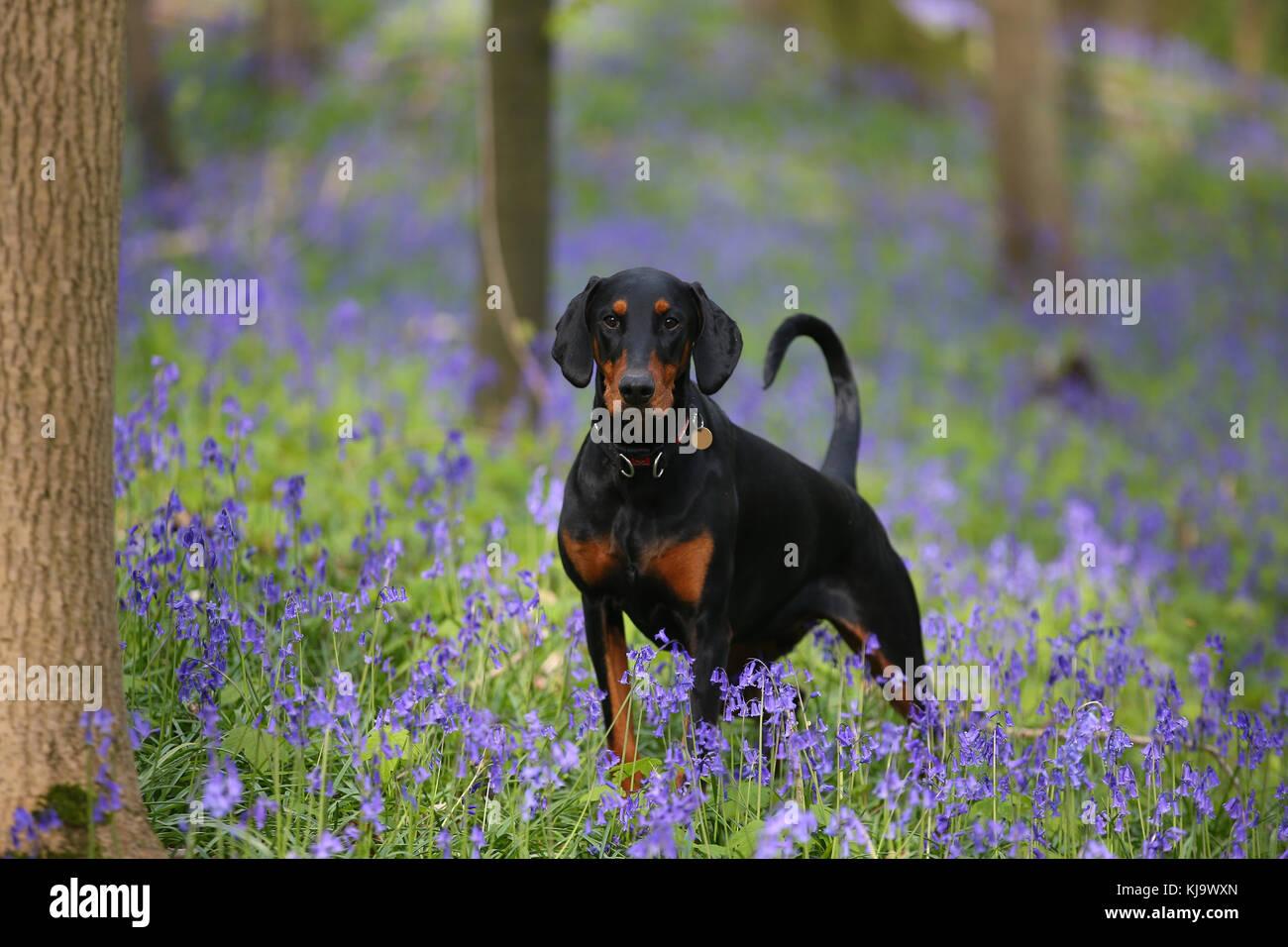 Doberman Pinscher - Stock Image
