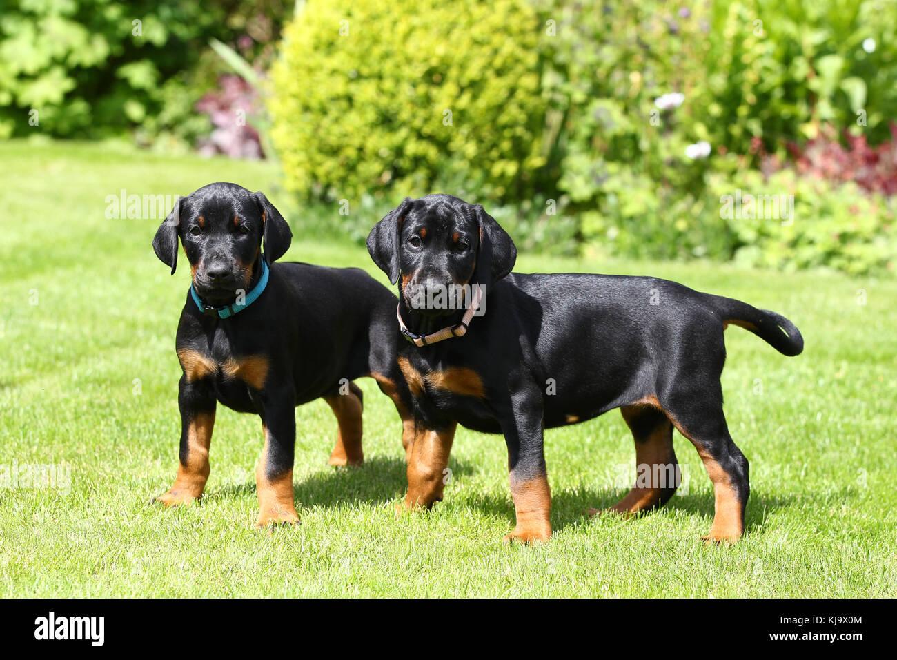 Doberman Pinscher Puppies - Stock Image