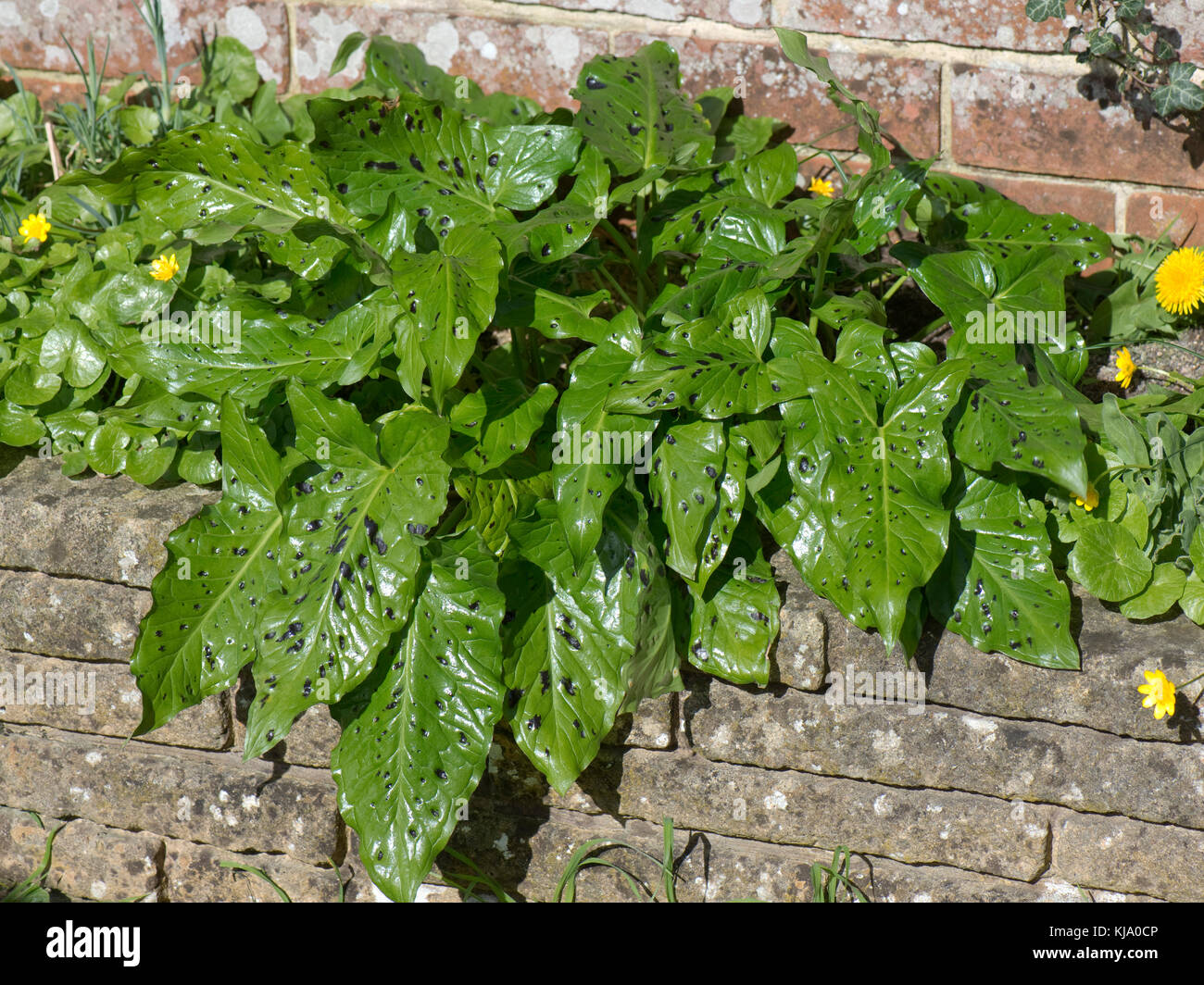 Young glossy green spotted arrow-shaped leaves of lords and ladies or wild arum, Arum maculatum, in early spring, - Stock Image