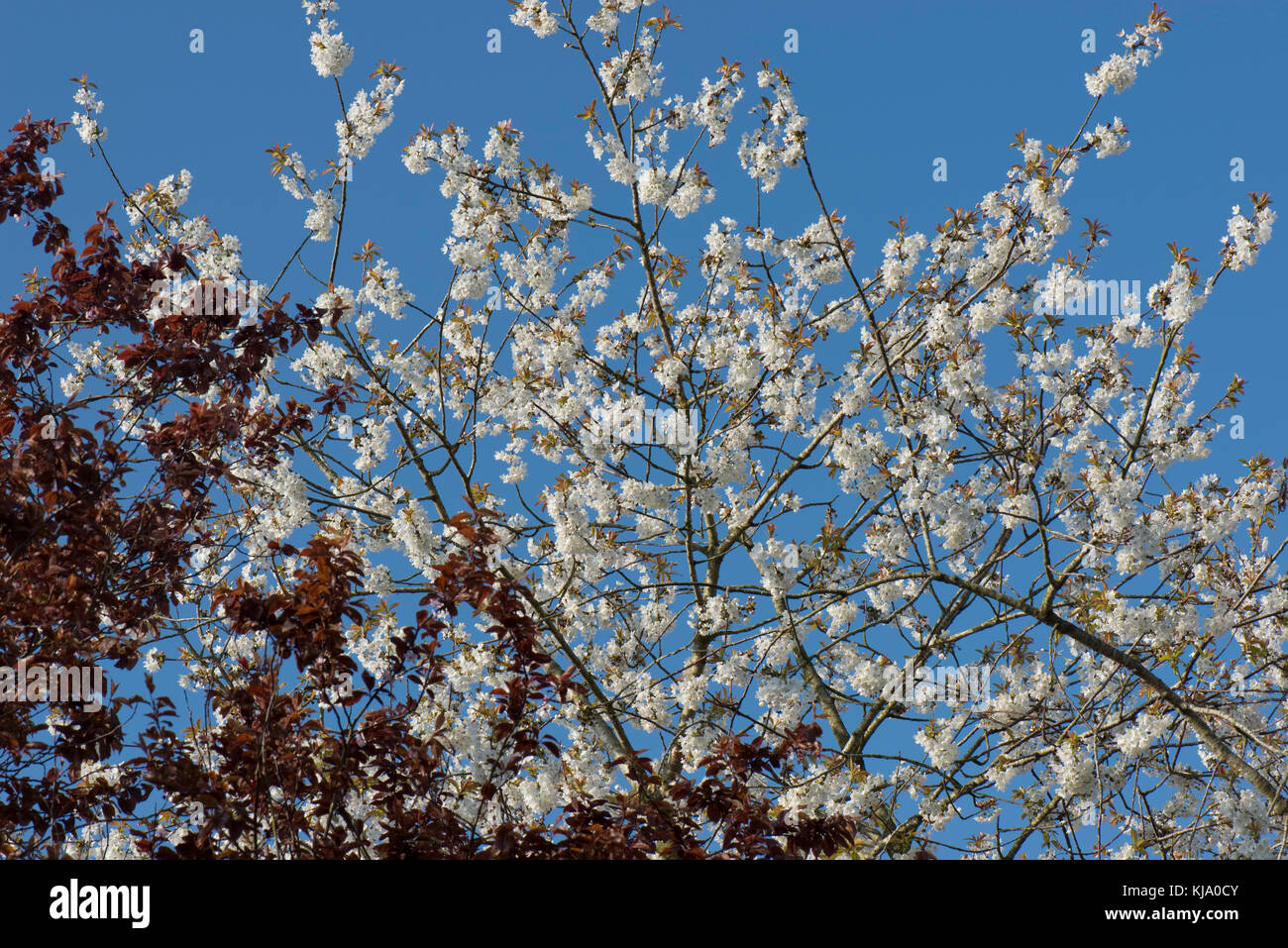 Red leaves of Prunus cerasifera in front of a profusely flowering wild or bird cherry tree in spring set against - Stock Image