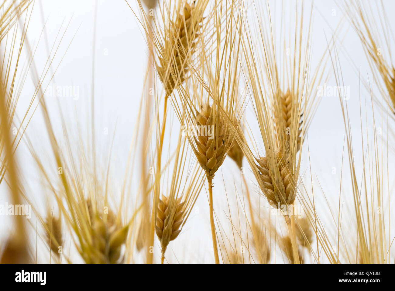 Golden rice ears close up in Hotaka, Japan - Stock Image