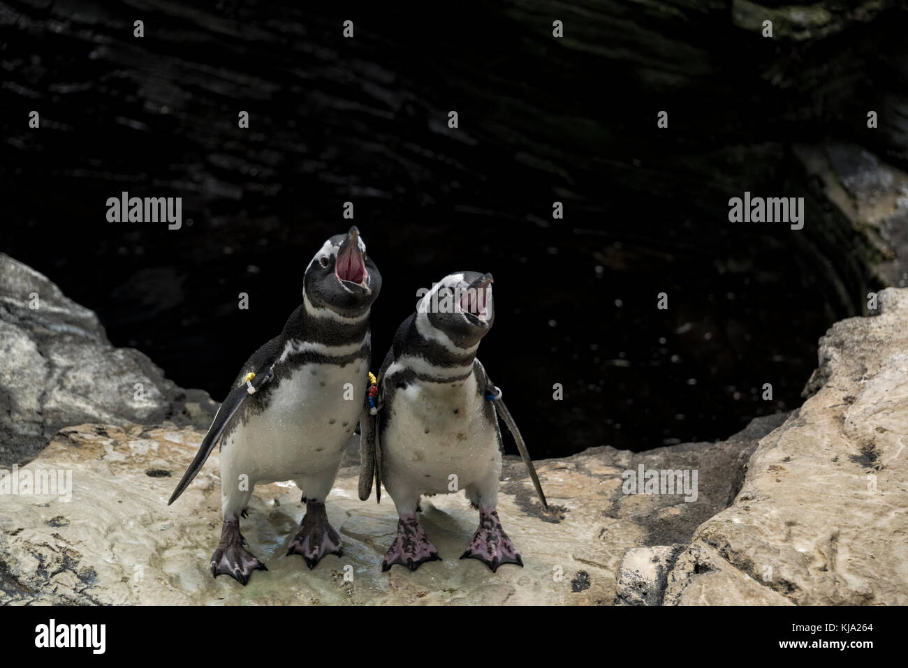 Two penguins (Magellanic penguin) - Stock Image