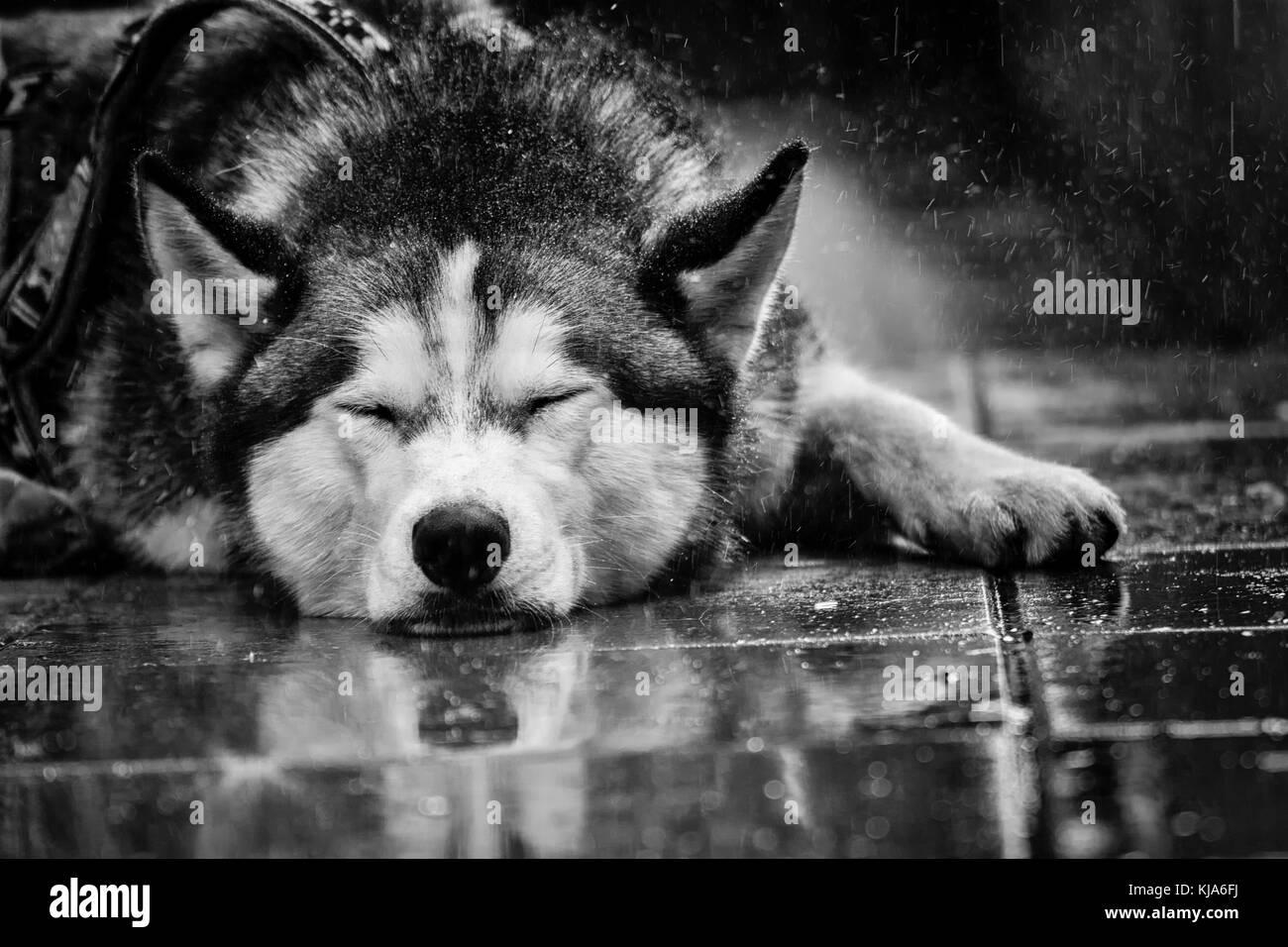 Husky in the rain - Stock Image
