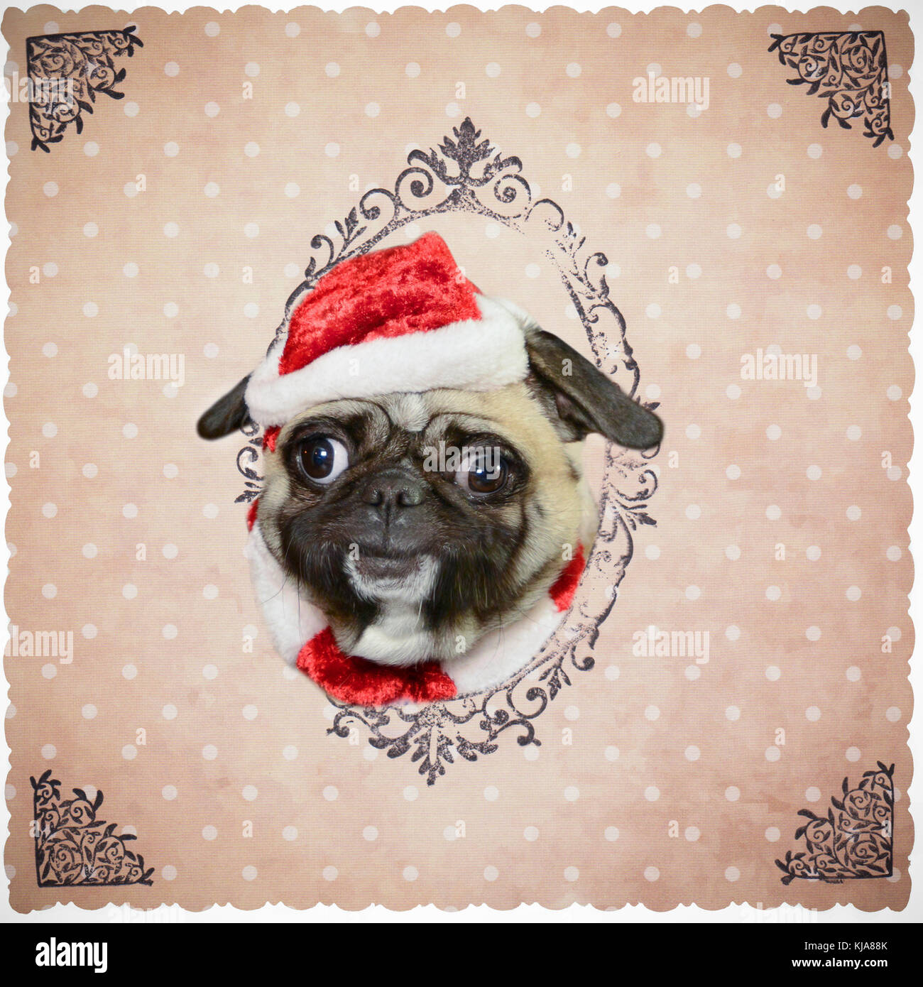 Dog pug with Christmas cap smiles and puts his head through paper  background - Stock Image