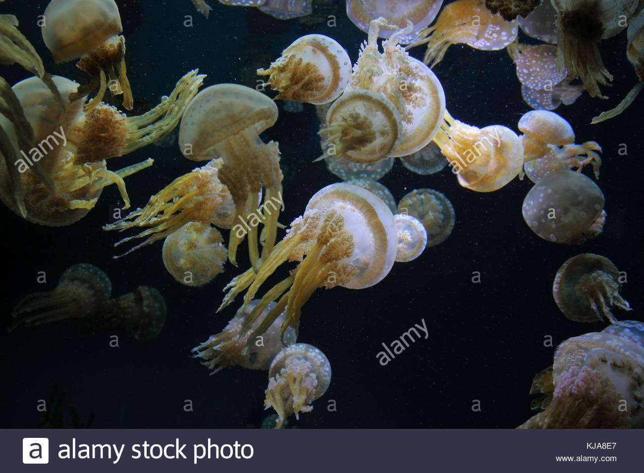 White spotted jelly - Stock Image