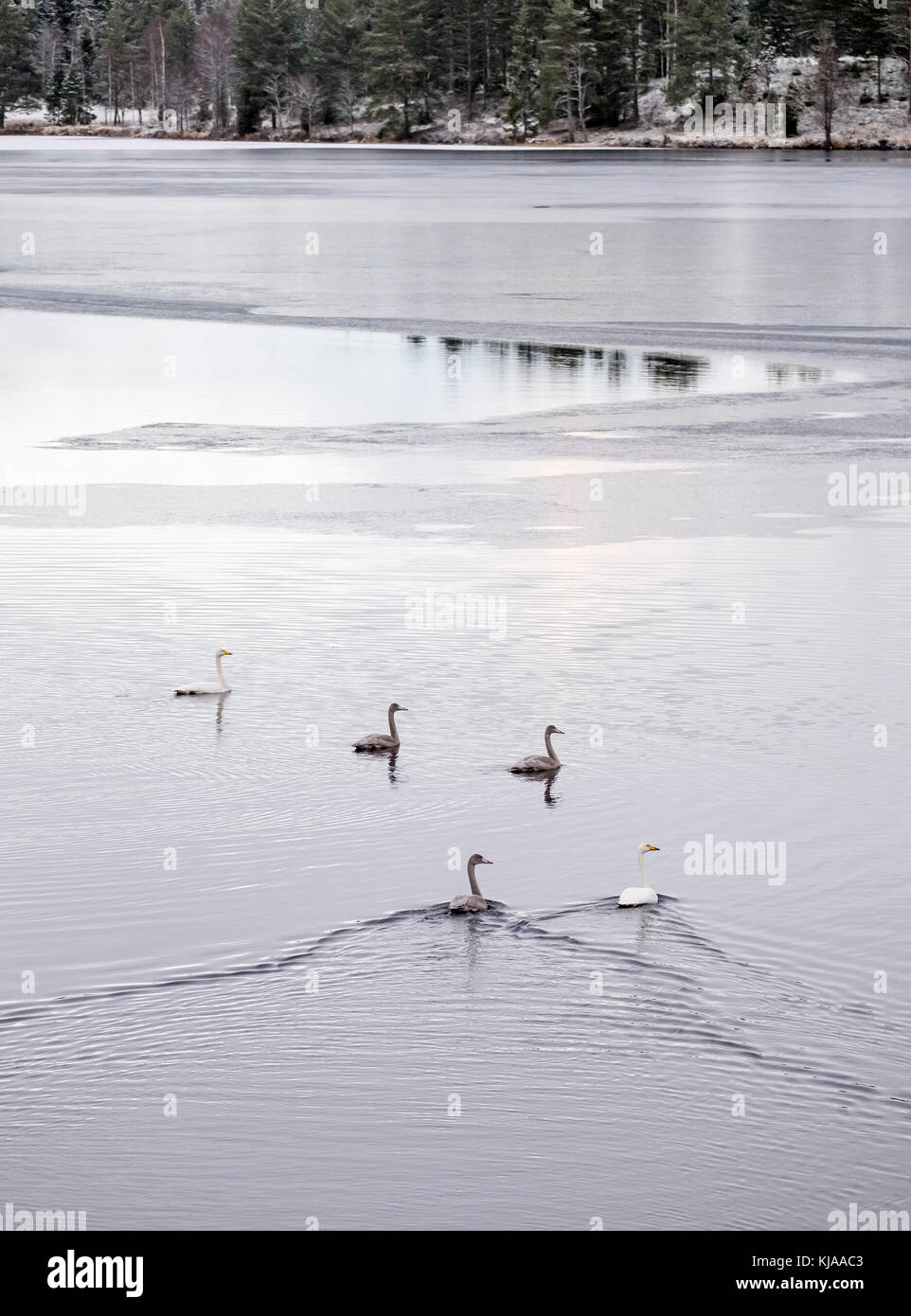 Family of whooper swans taking a break in their migration. Värmland, Sweden - Stock Image
