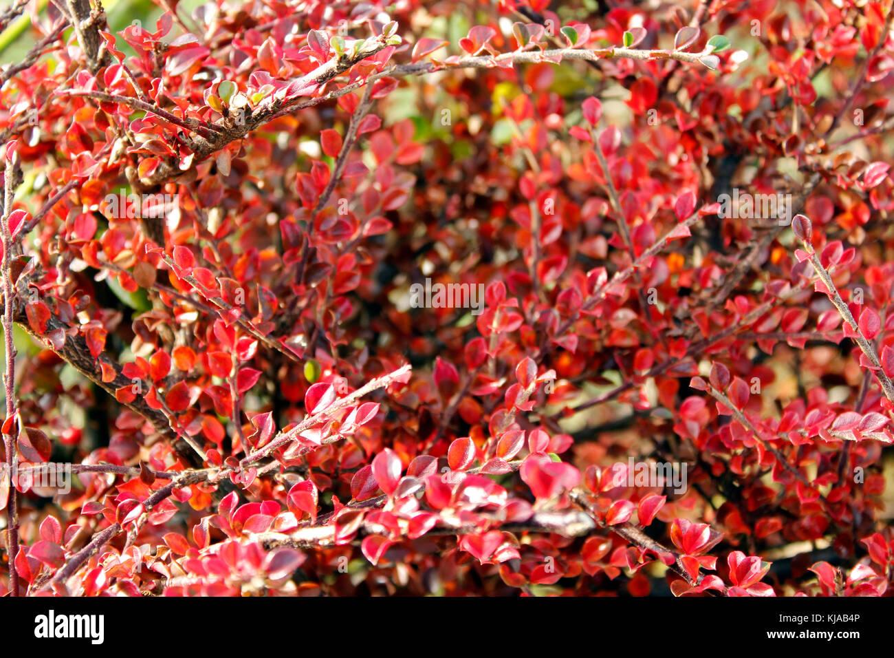 Autumn red foliage of Cotoneaster horizontalis Stock Photo
