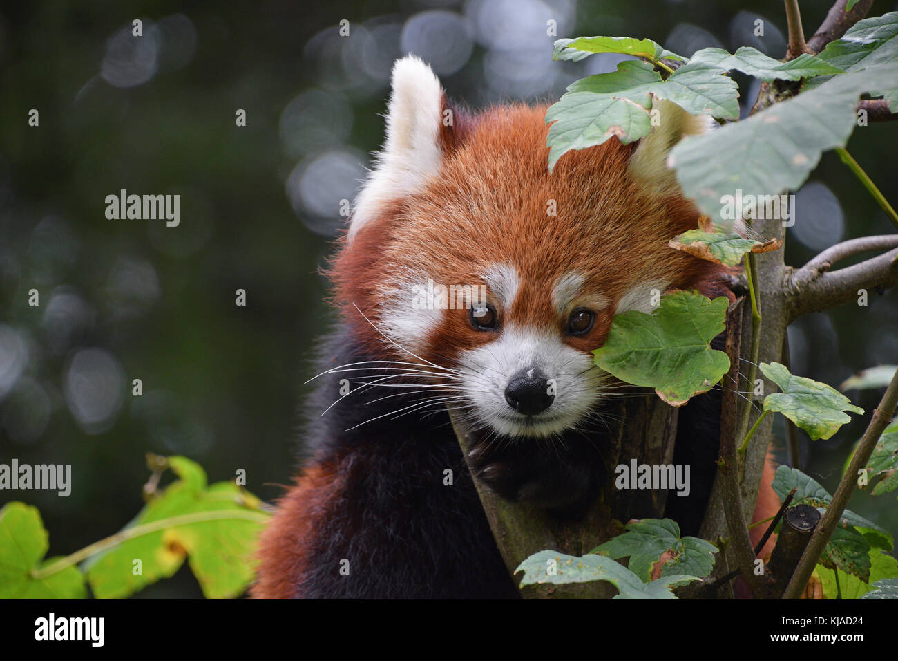 Close up portrait of one cute red panda on green tree, looking at camera, low angle view - Stock Image