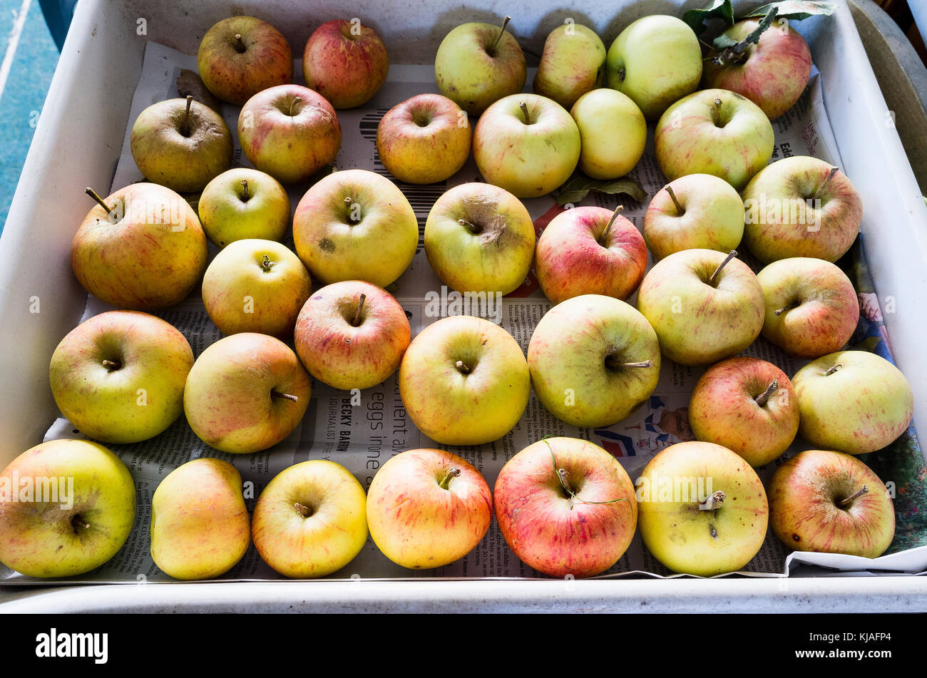 Harvested home-grown eating apples packed in a tray for short-term storage in UK - Stock Image