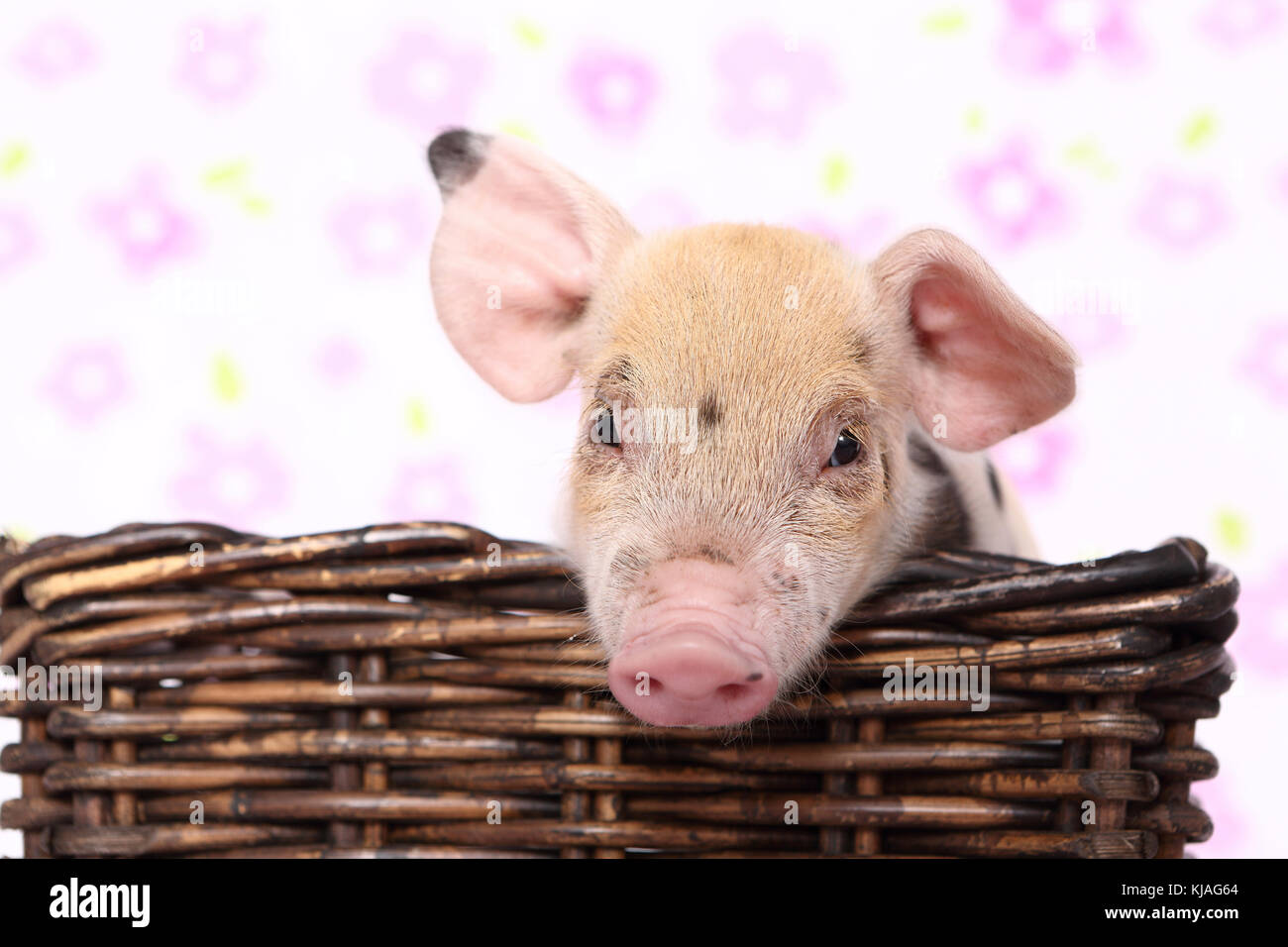 Domestic Pig, Turopolje x ?. Piglet in a basket. Studio picture seen against a white background with flower print. - Stock Image