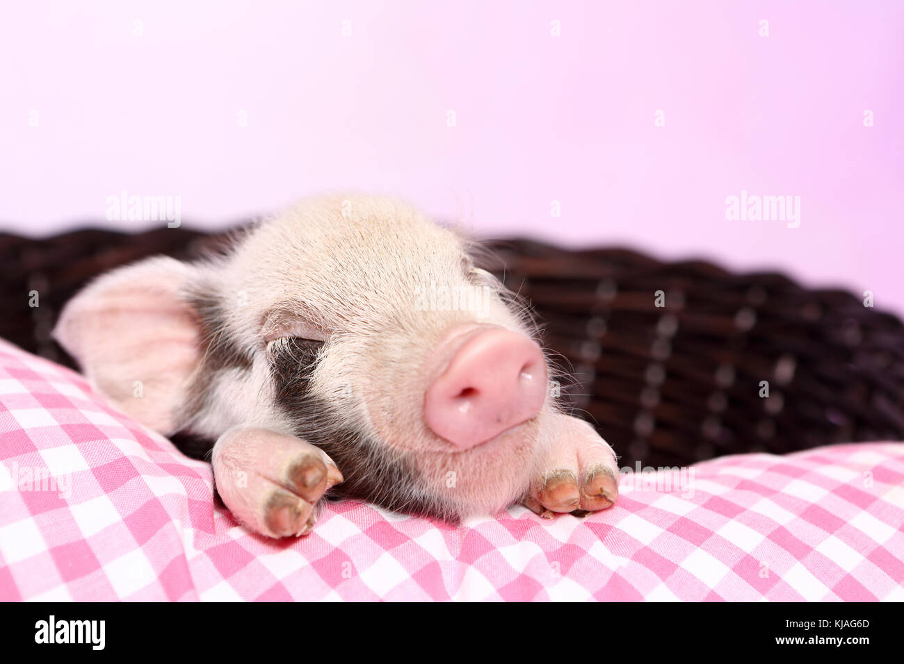 Domestic Pig, Turopolje x ?. Piglet sleeping on pink-checkered pillow in a basket. Studio picture seen against a - Stock Image