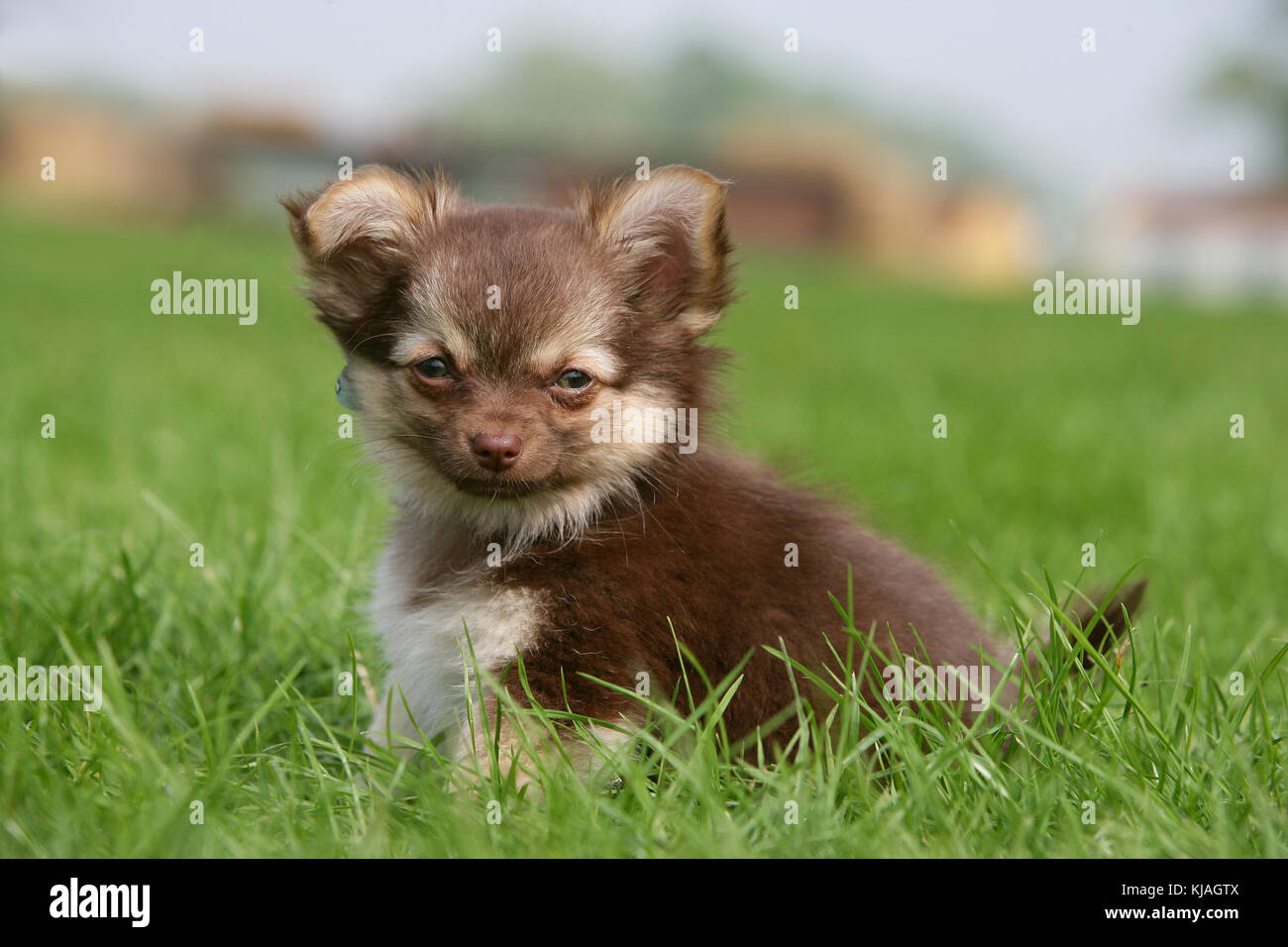Long Haired Chihuahua Puppy Stock Photo Alamy