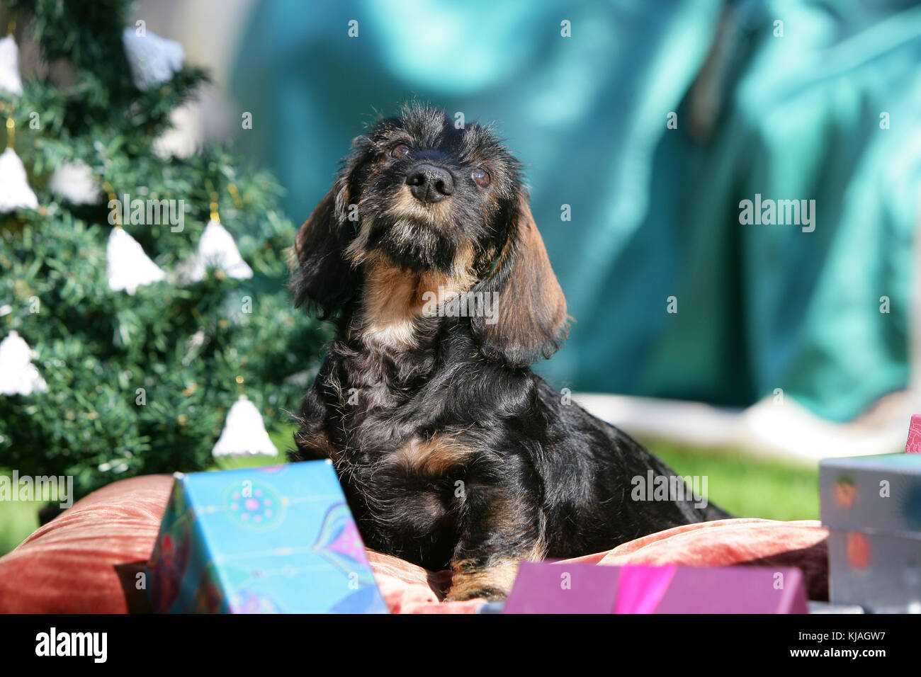 Wire Haired Standard Dachshund Stock Photos & Wire Haired Standard ...