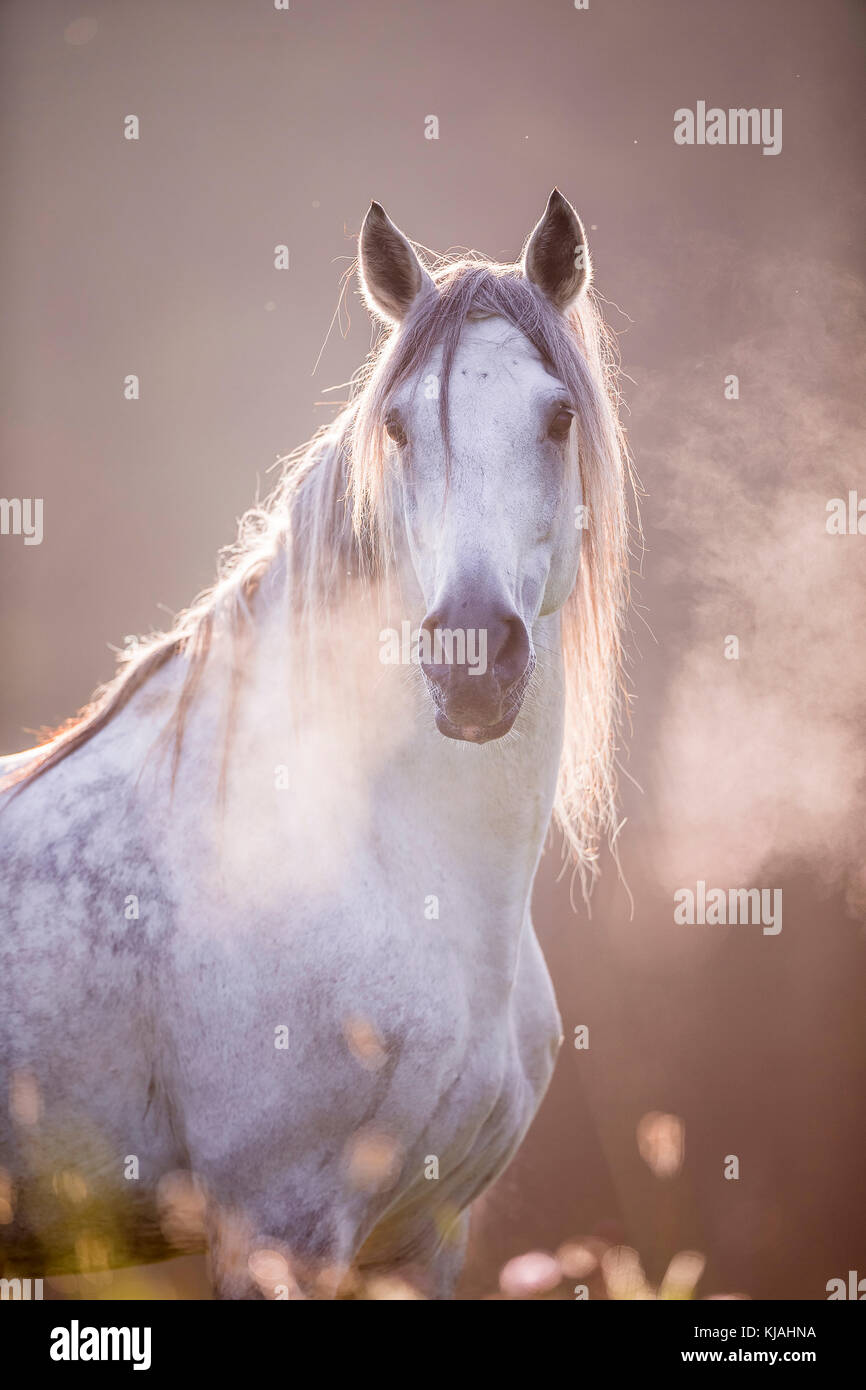 Pure Spanish Horse, Andalusian. Portrait of gray gelding showing hot breath. Germany - Stock Image