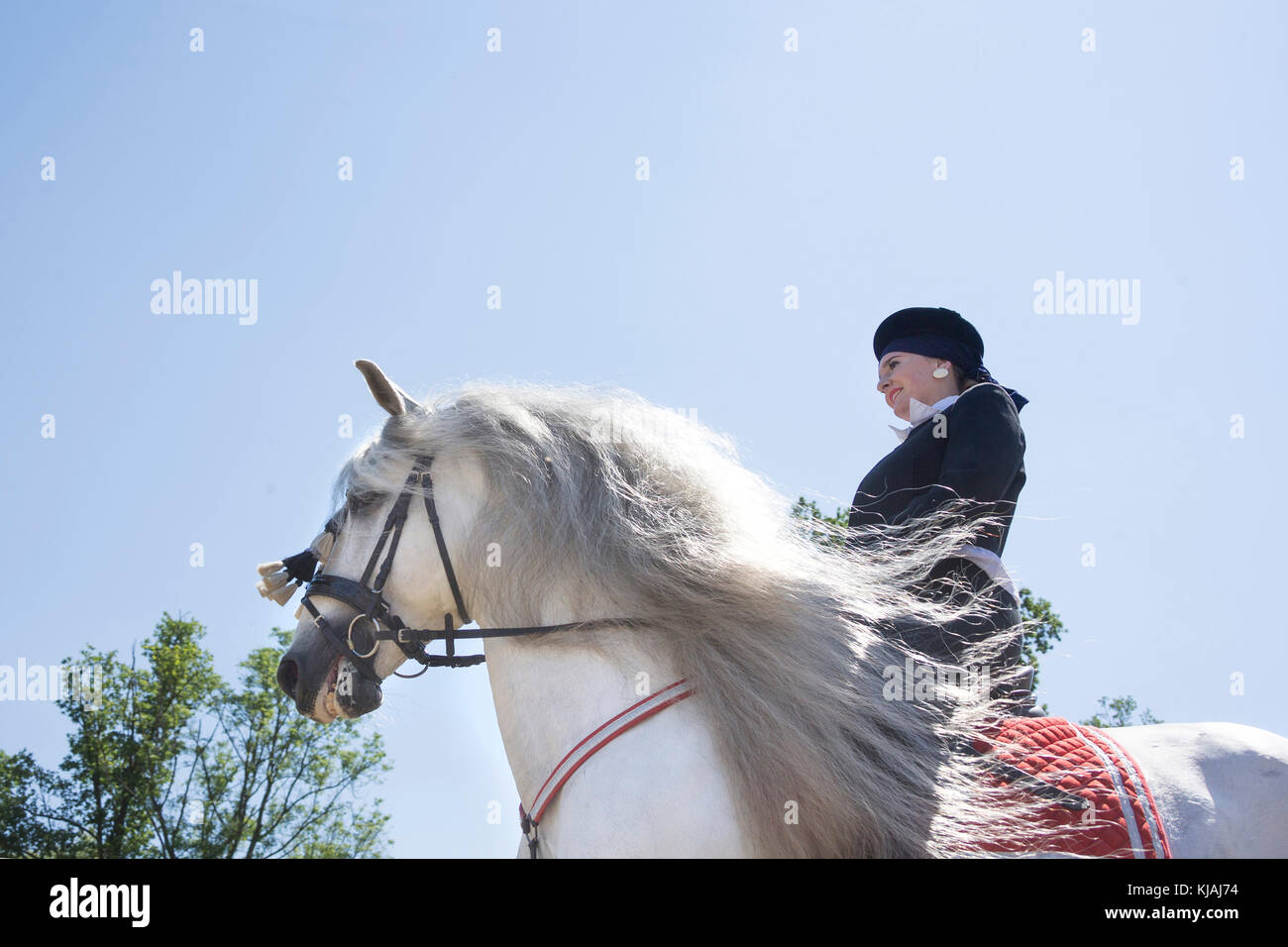 Pure Spanish Horse, Andalusian. Rider in traditional dress on gray stallion galloping on a riding place, senn from - Stock Image