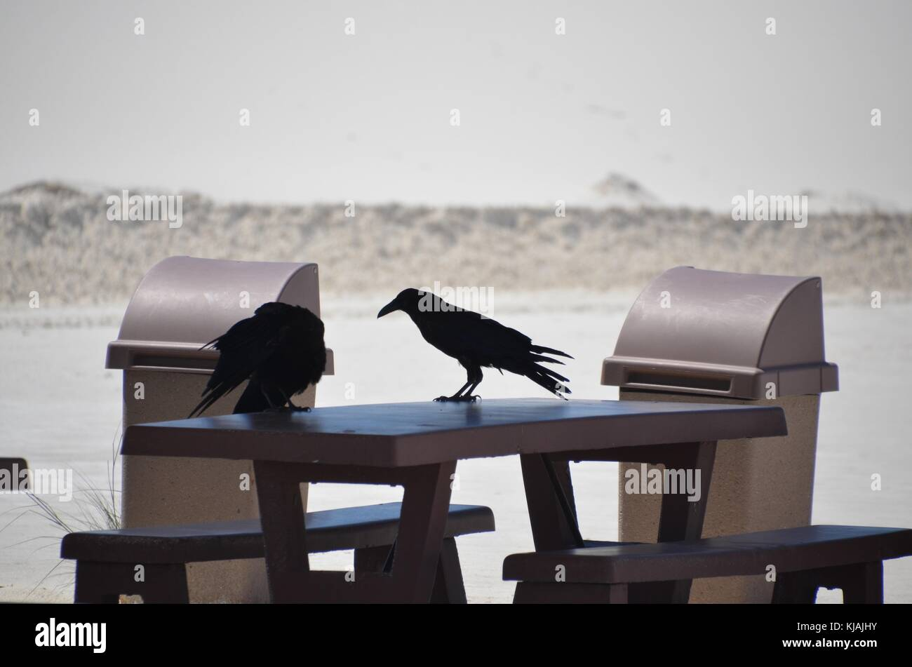 two ravens stand on a picnic table in white sands national park new mexico usa - Stock Image