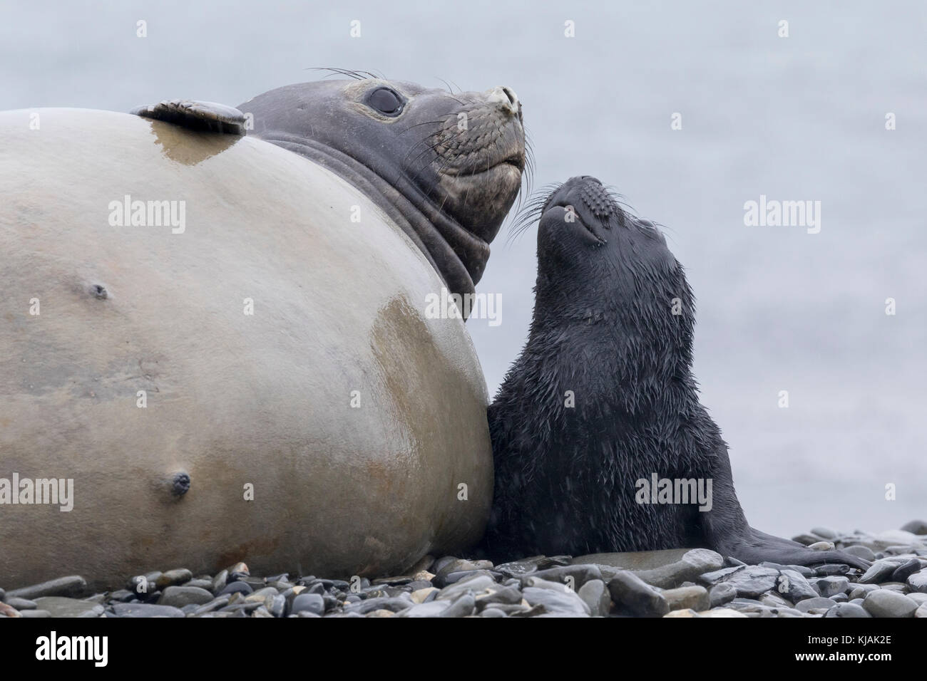 Female elephant seal with newborn pup on Peggotty Bluff beach shingle at King Haakon Bay, South Georgia Island - Stock Image