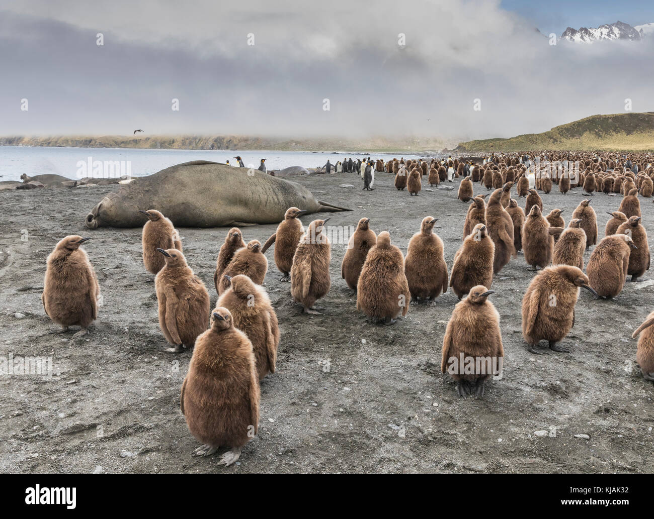 Sleeping elephant seal and king penguin chicks and adults at Gold Harbour, South Georgia Island - Stock Image