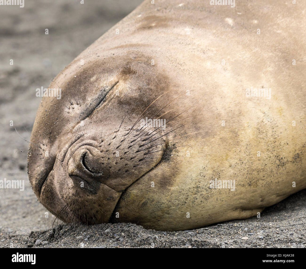 Female elephant seal dozing on the beach at Gold Harbour, South Georgia Island - Stock Image