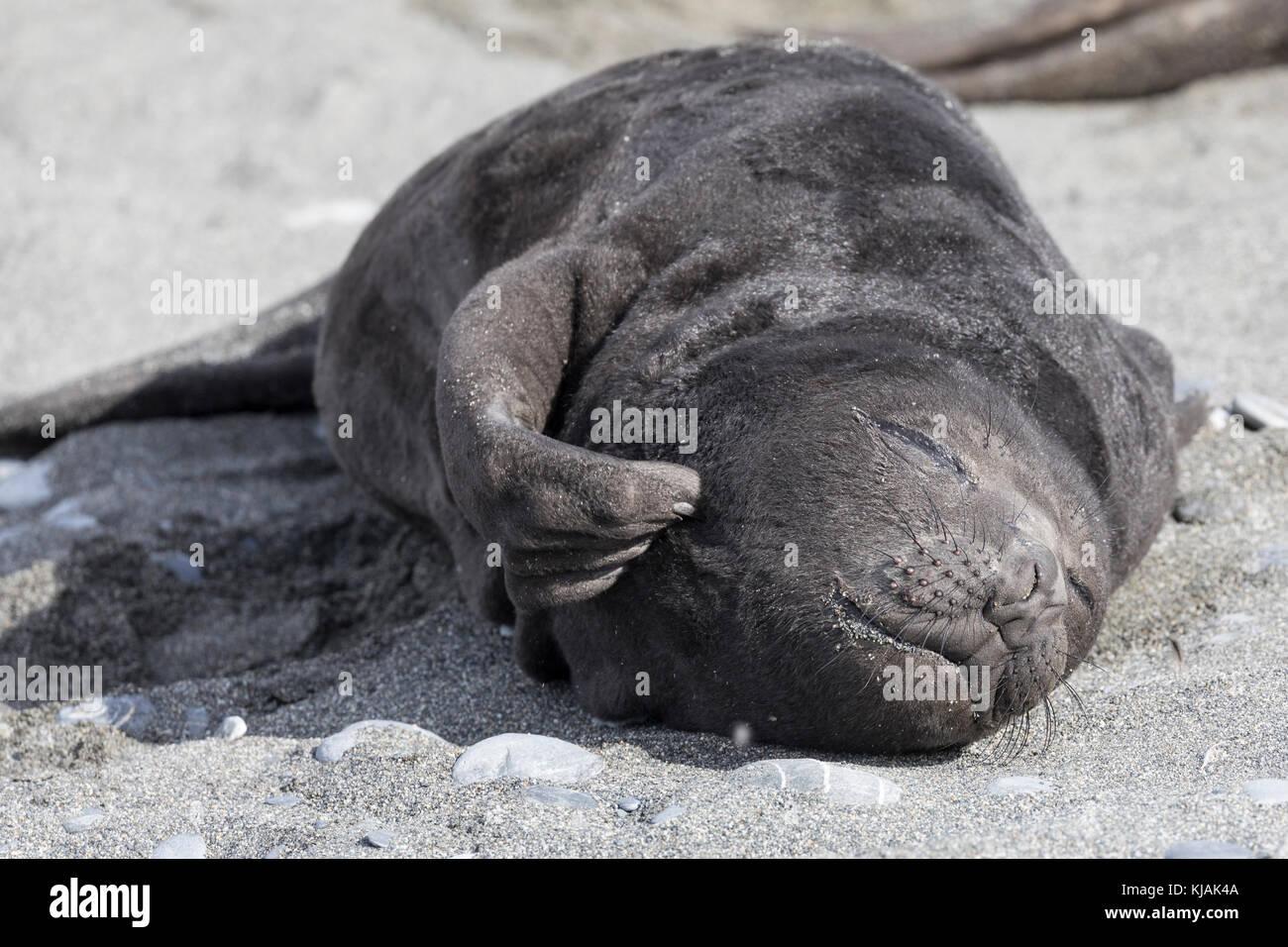 Elephant seal pup scratching an itch, Salisbury Plain, South Georgia Island - Stock Image